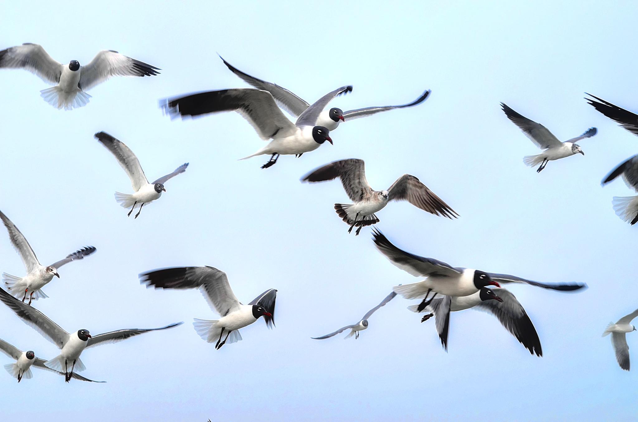 Gulls Descending by kersten.conway