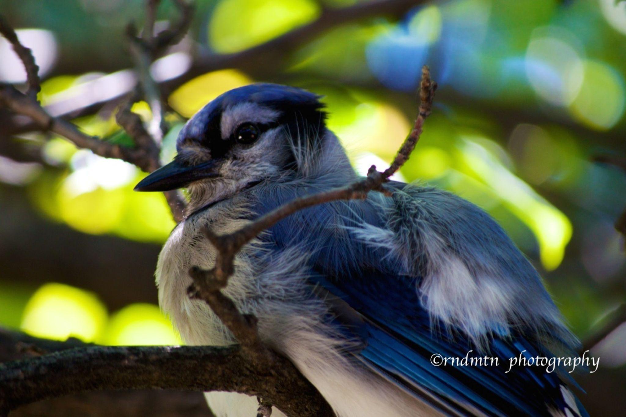 Blue Jay by rndmtn