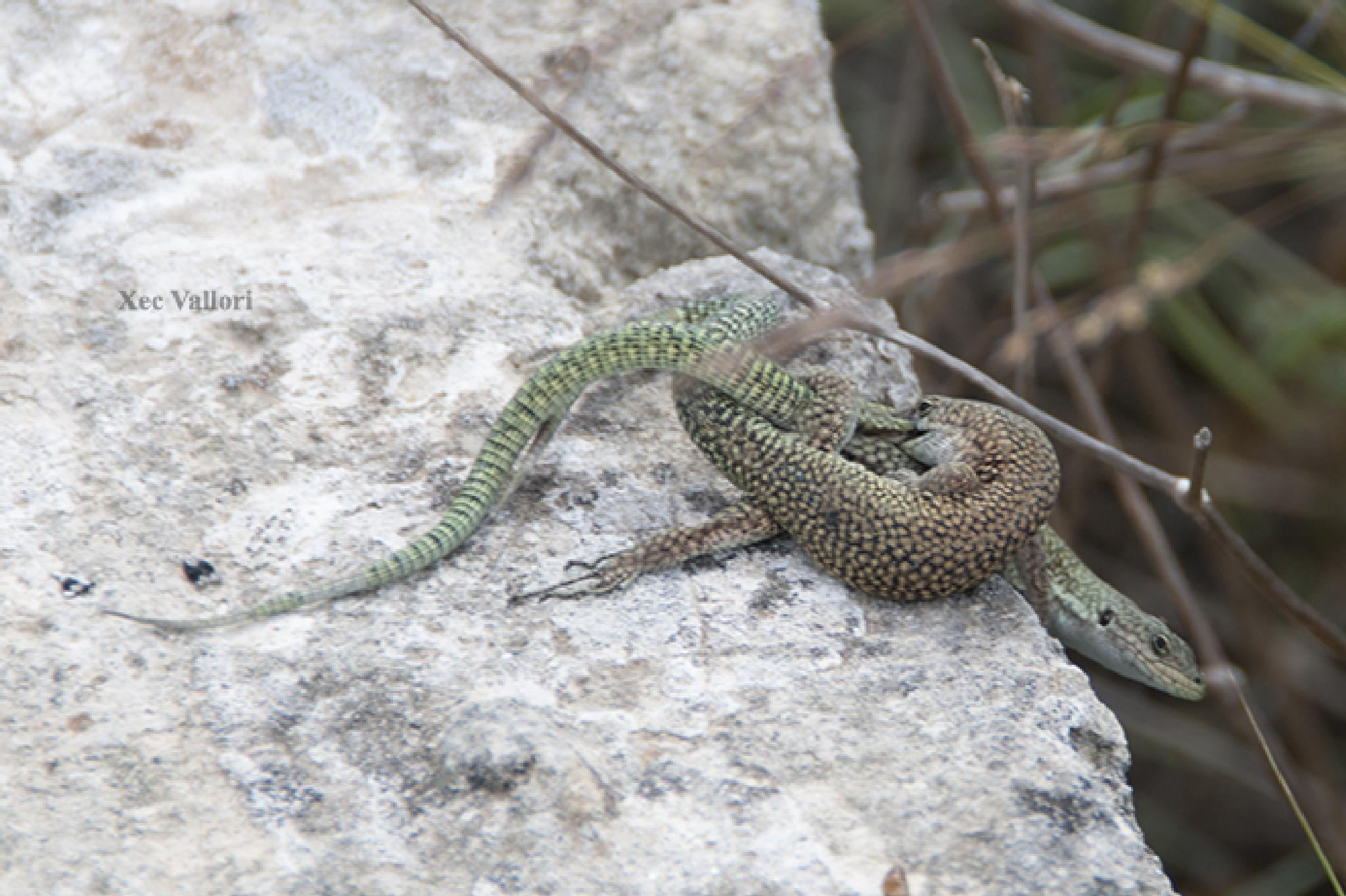 Couple of small lizards by Francesc Vallory