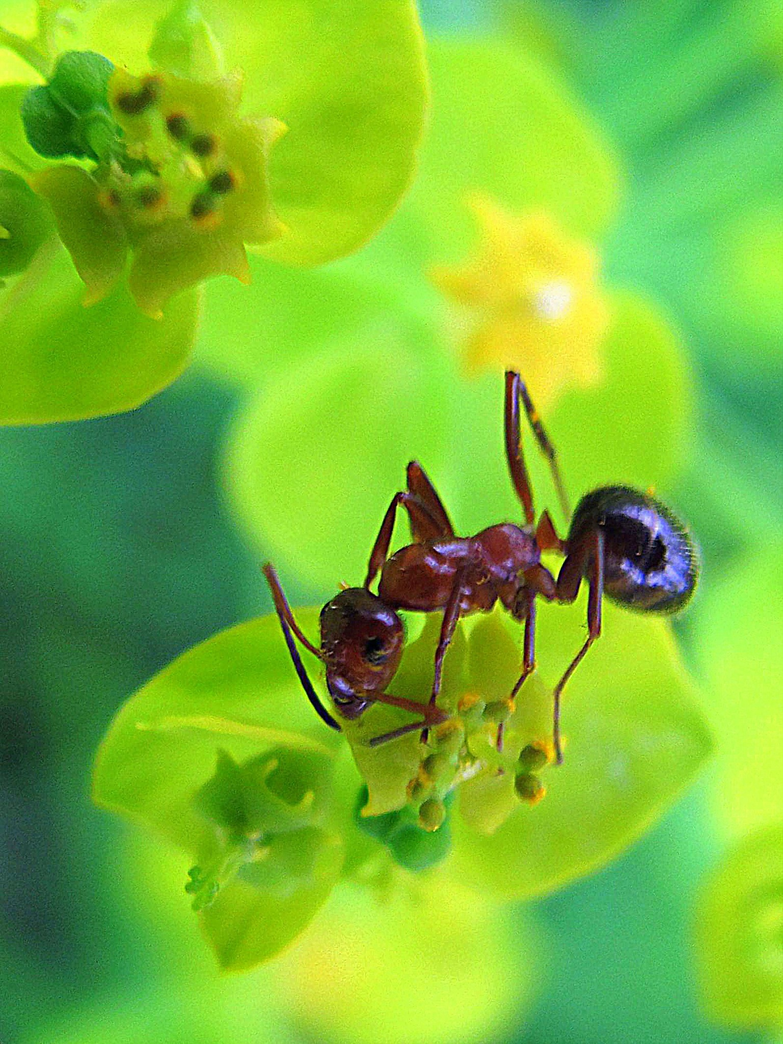 Ant on Spurge by bellamahri