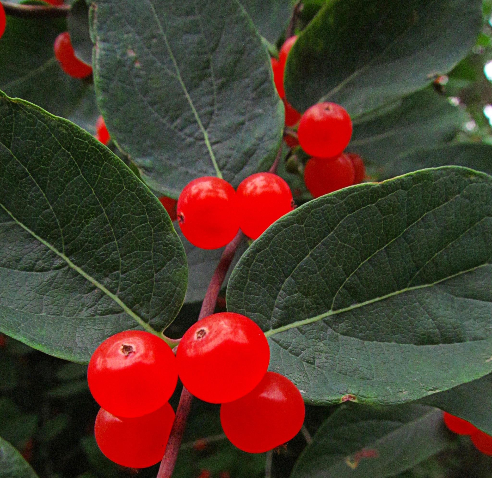 Red Berries by bellamahri