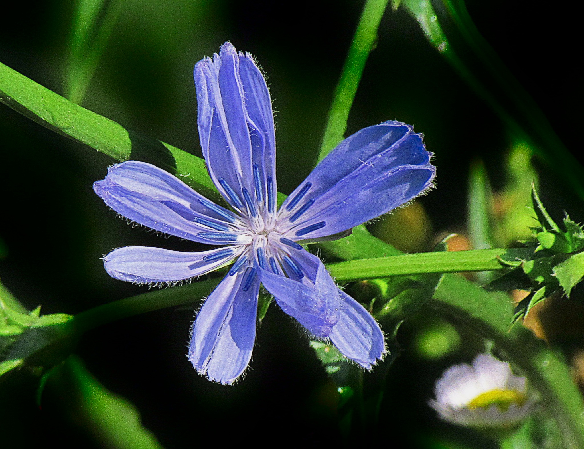 Blue Chicory by bellamahri