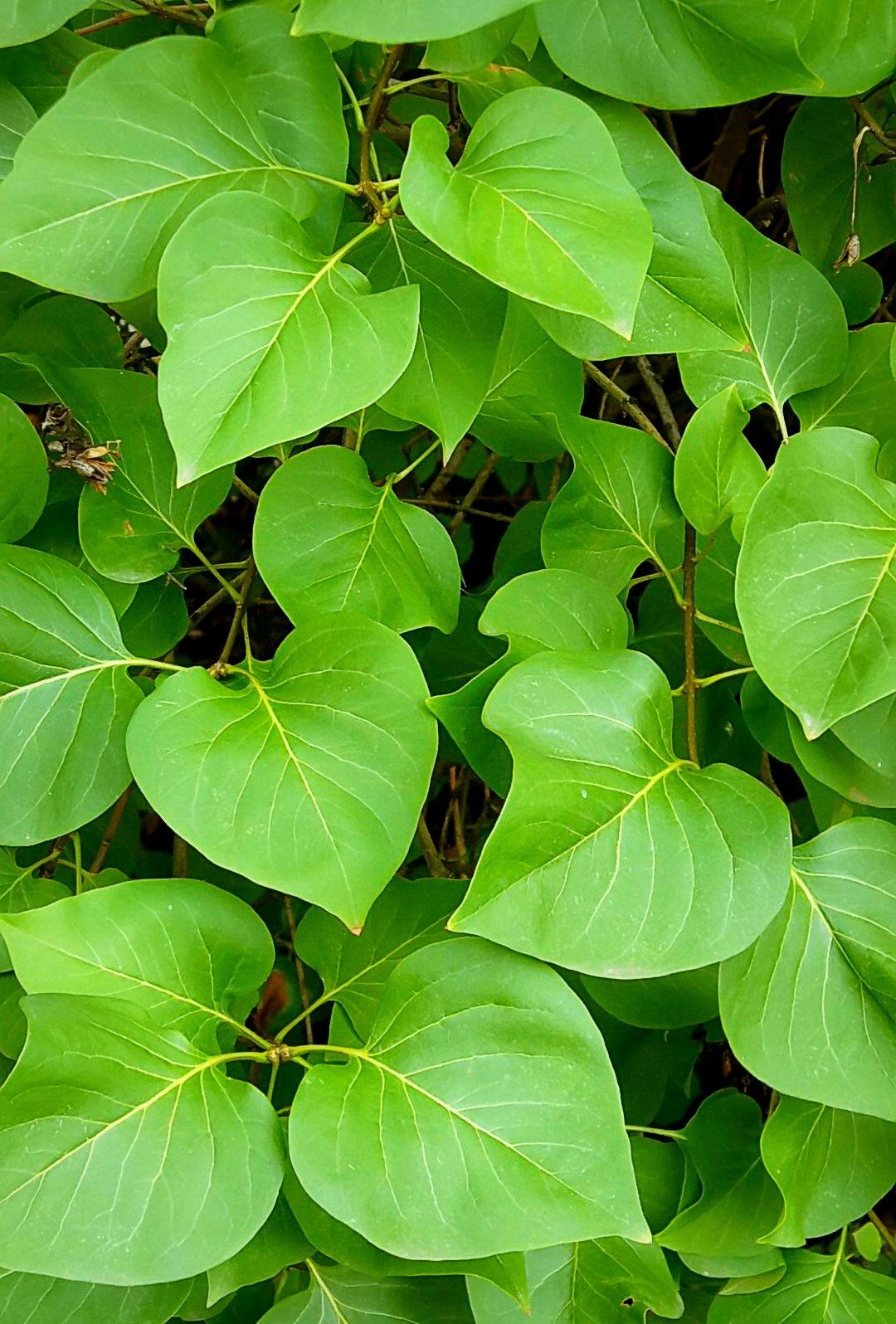 Redbud Leaves - Original by bellamahri