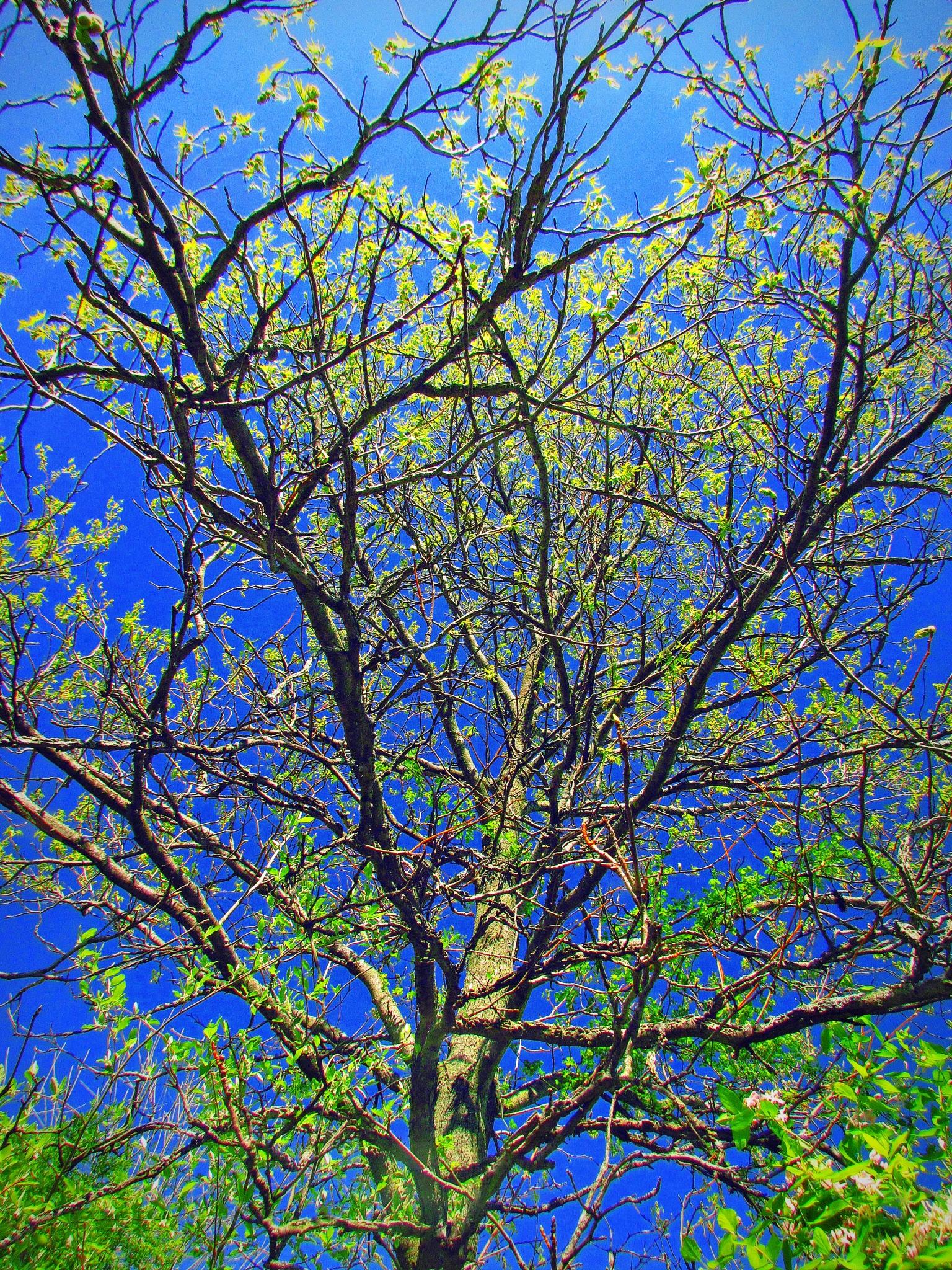 Sweetgum Tree in Spring Bloom by bellamahri