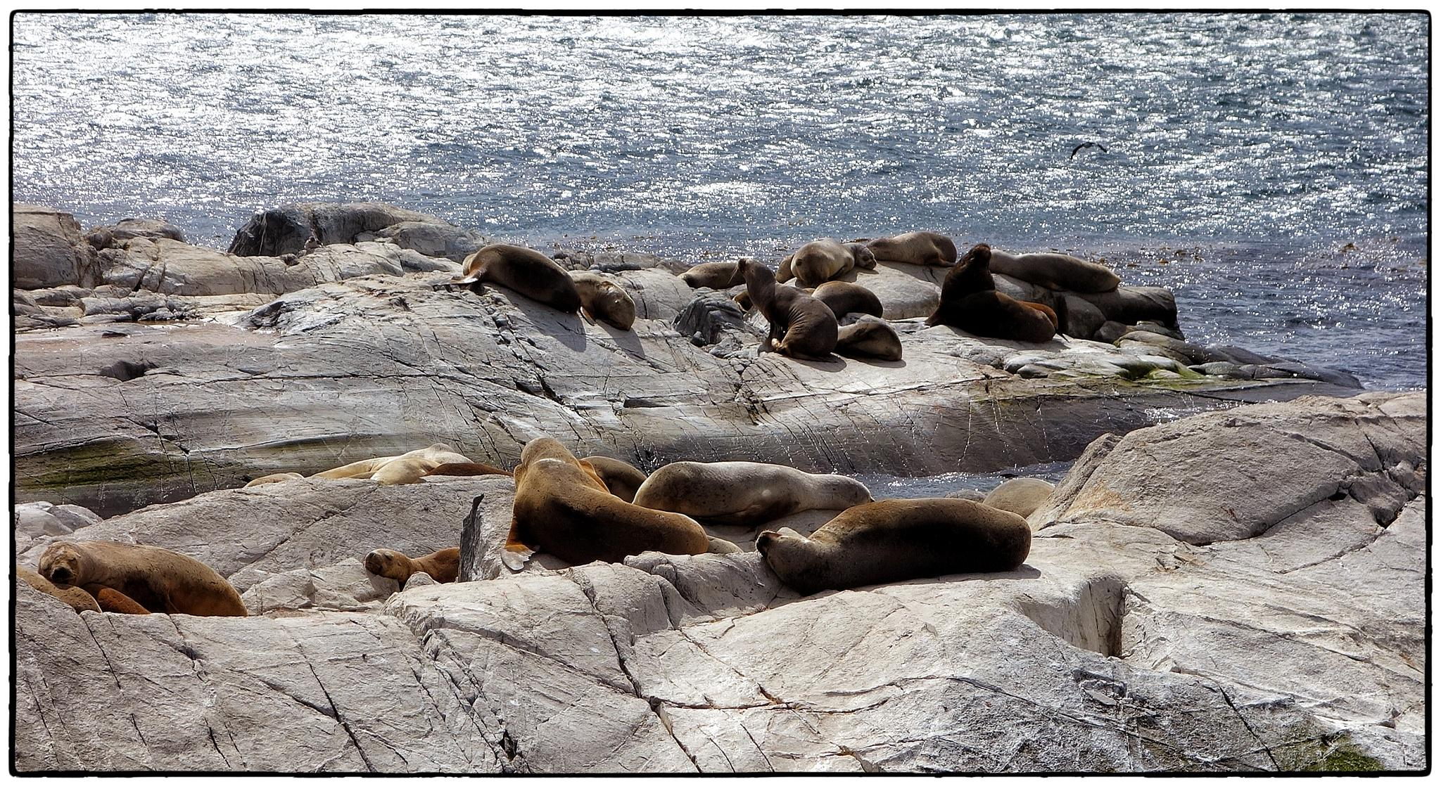Colònia de lleons maris. Canal de Beagle. Ushuaia by bescosx