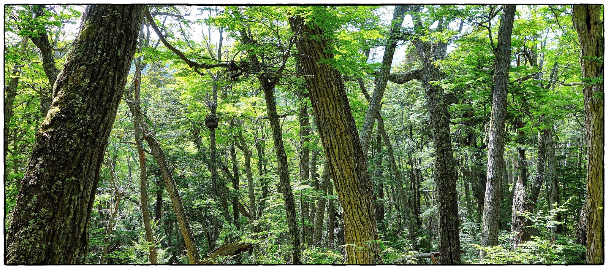 El bosc patagònic austral. Parc de la Fi del Món. Ushuaia by bescosx