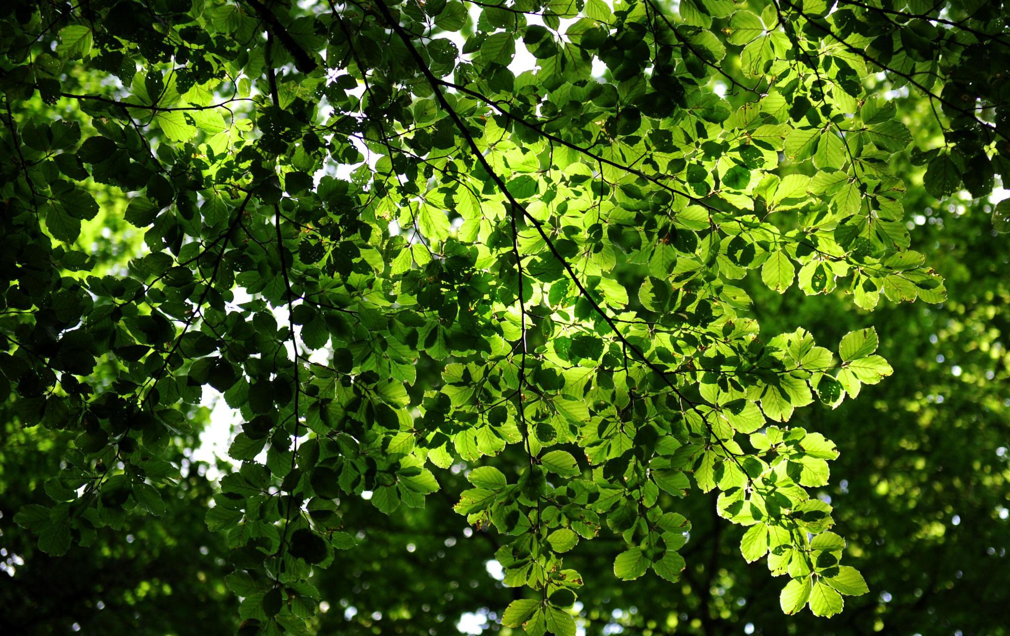 Bosc de Irati (Navarra). Detall de les fulles dels arbres by bescosx