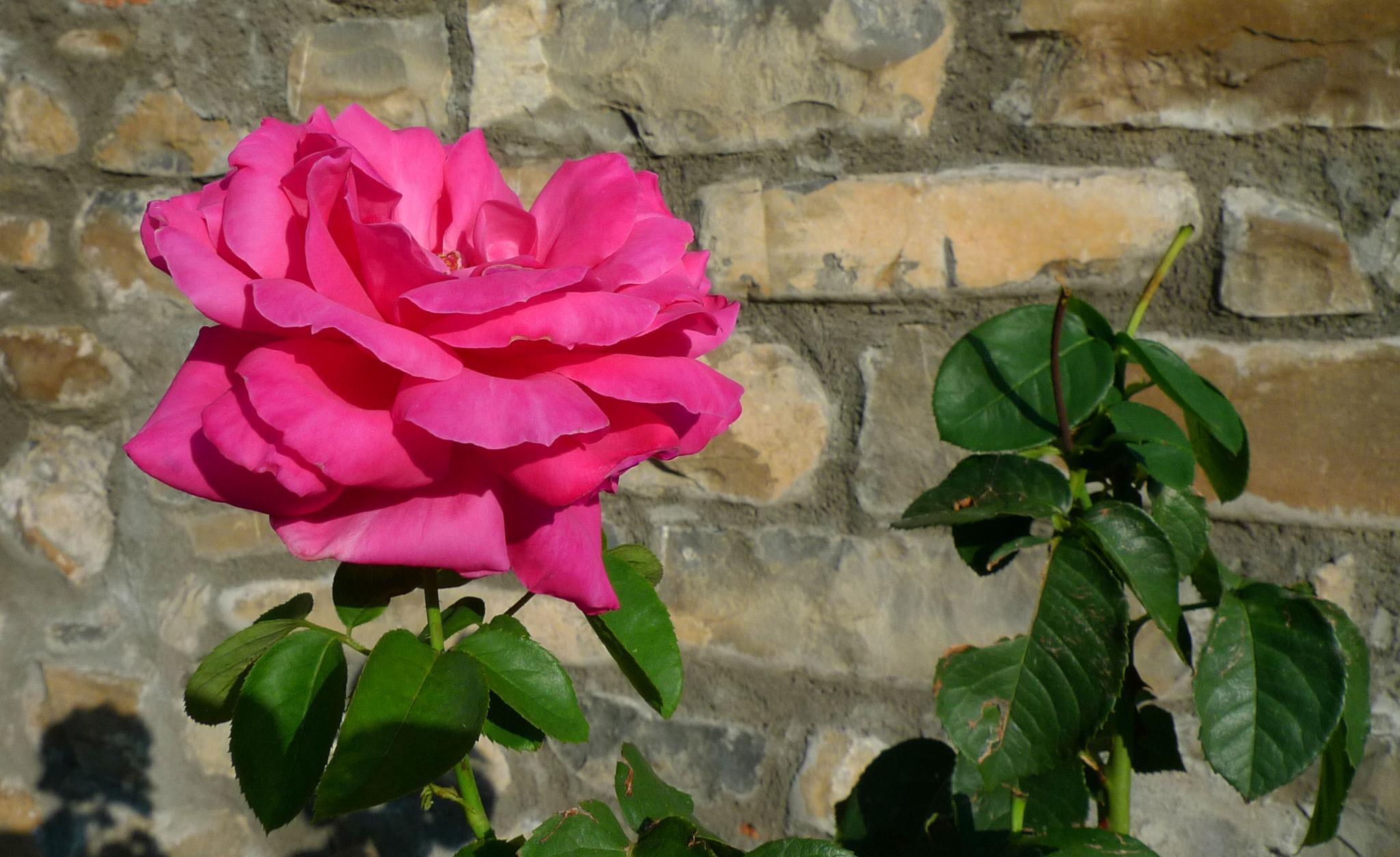 Una rosa. Echo (Huesca) by bescosx