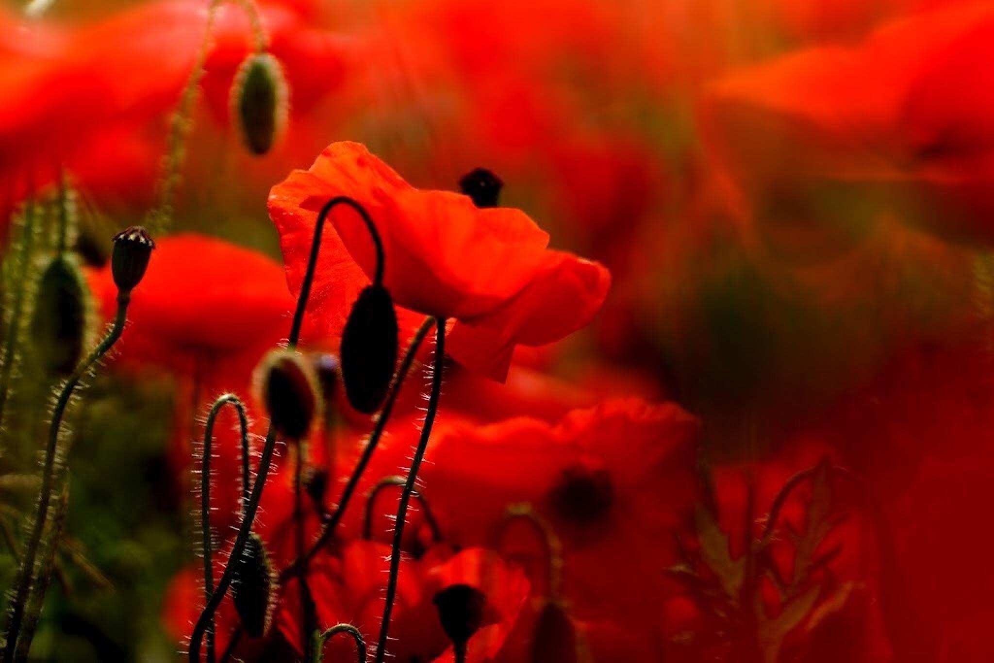 Poppy Heaven by Fi Ona H