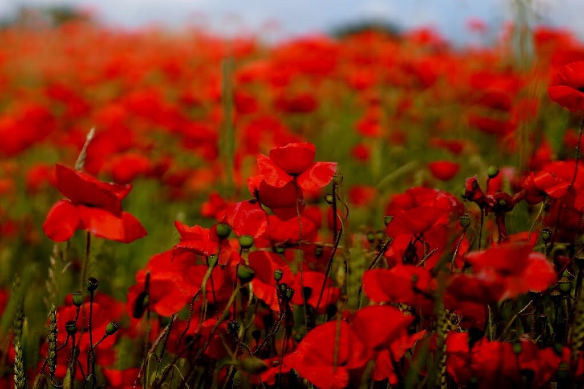 Poppy Delight by Fi Ona H