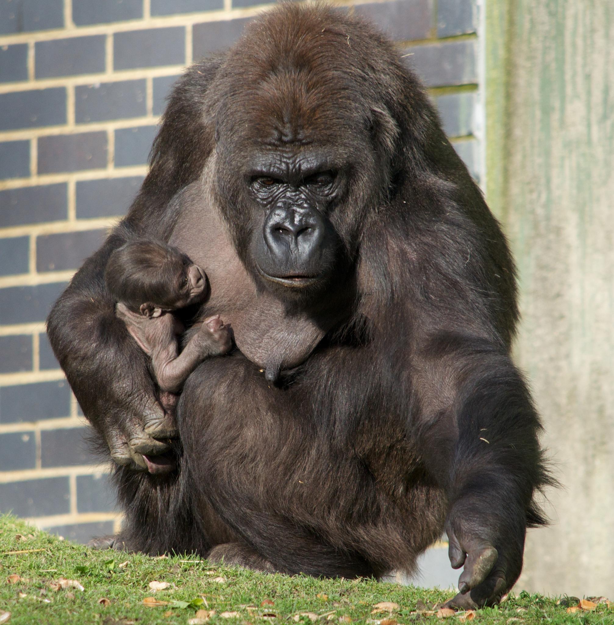 Gorilla Mummy by Fi Ona H
