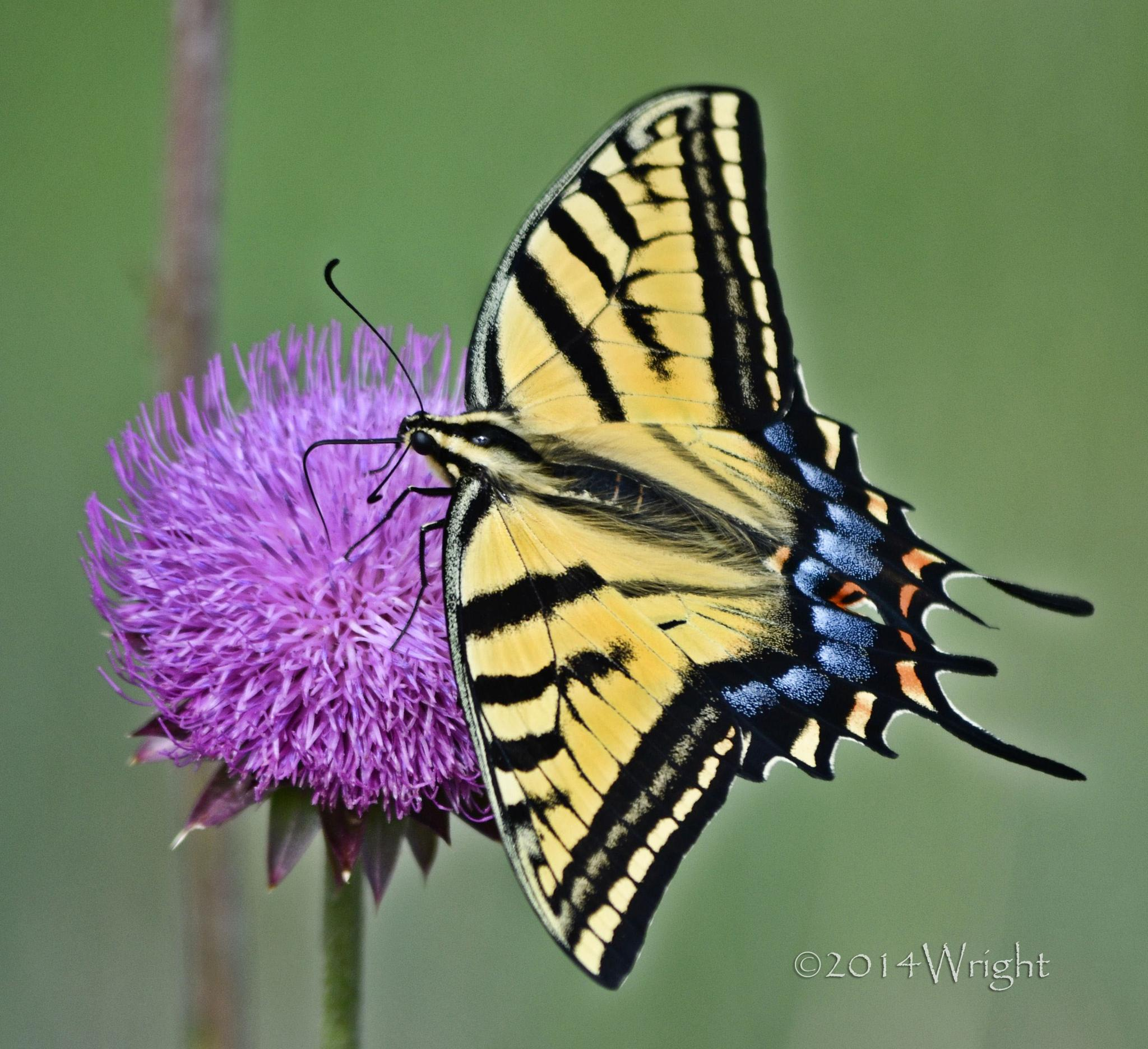 The Western Tiger Swallowtail (Papilio rutulus) by MischelleDawnWright