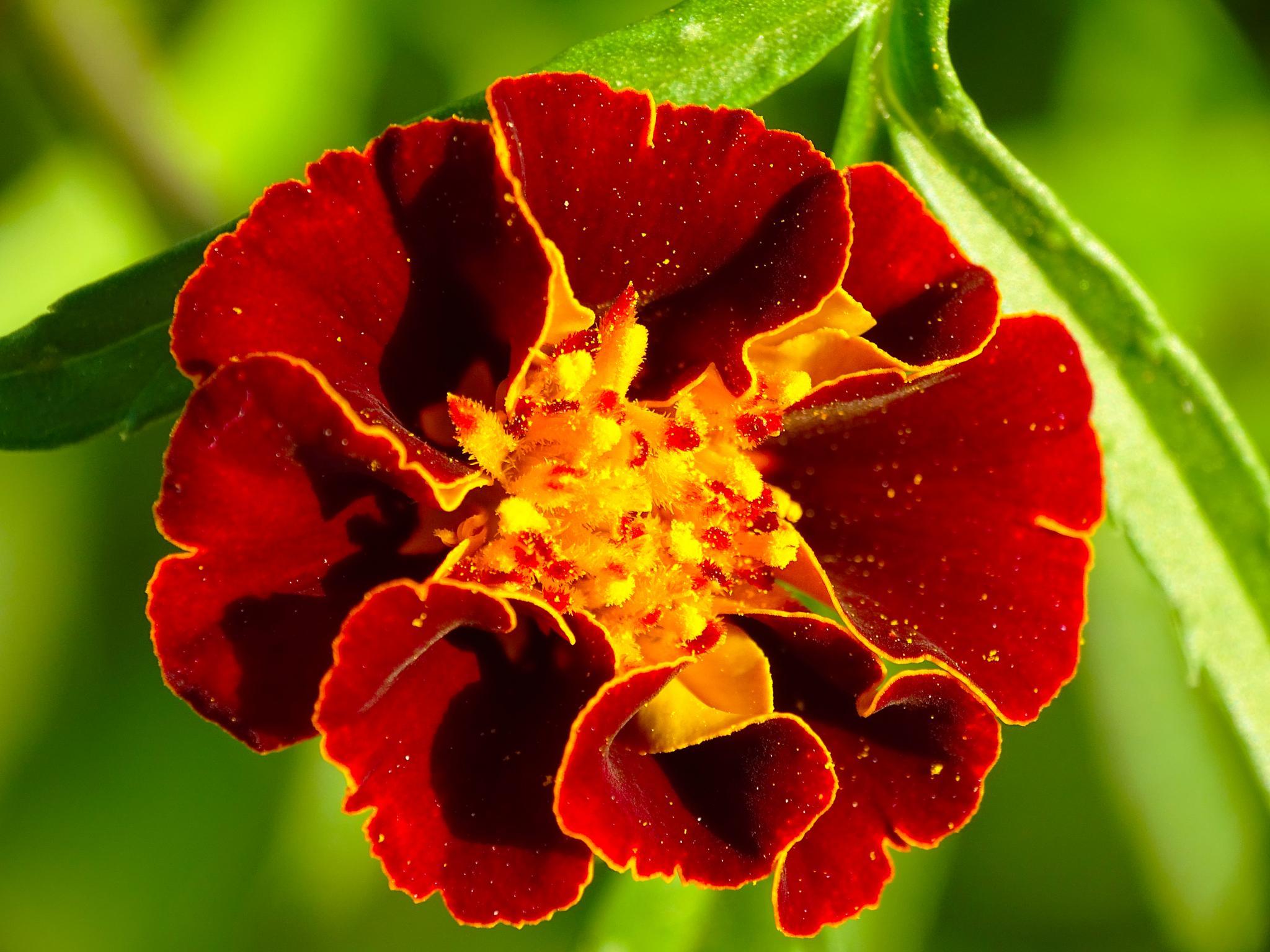 Little red bloomer by Utkarsh Singh