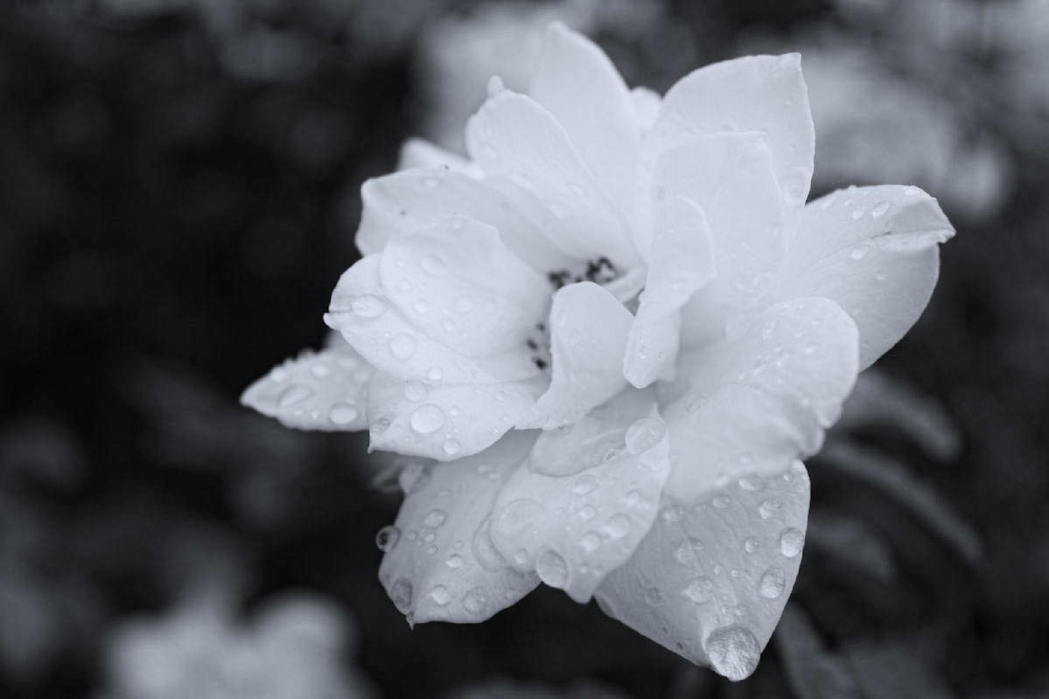 White Rose in the Rain by shirleymariefranklin