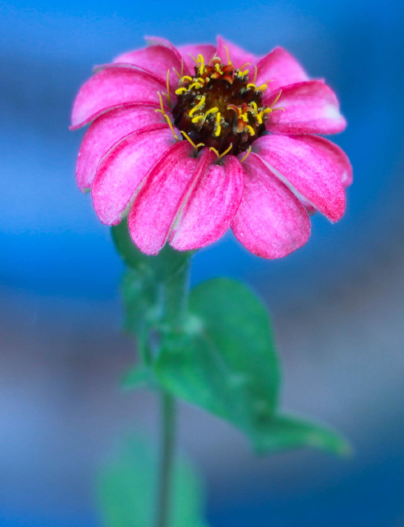 Last Pink Flower by shirleymariefranklin