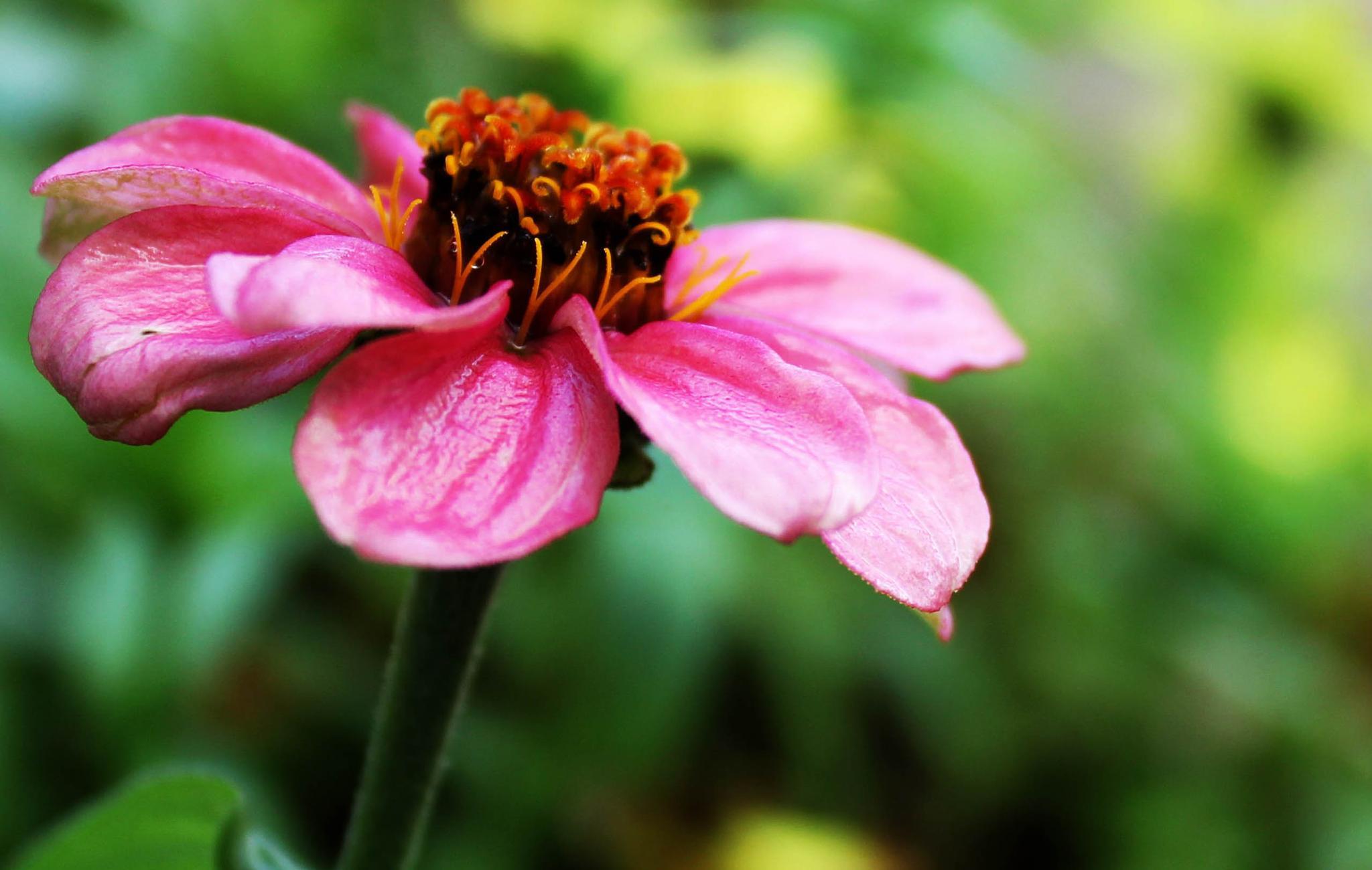 Last Pink Zinnia, Closer by shirleymariefranklin