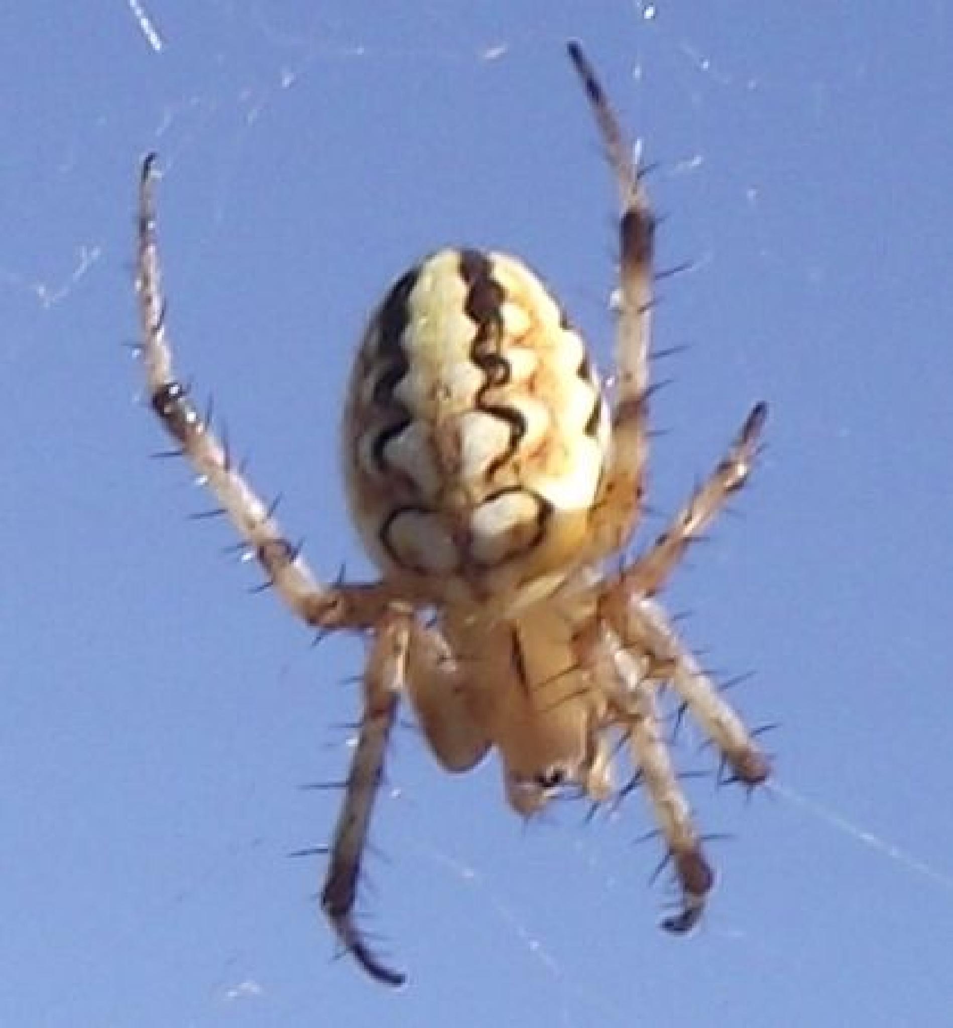 Orb weaver spider by Steve Daniels