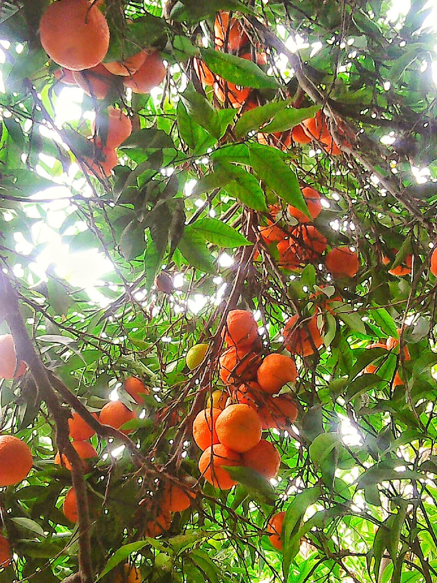 Clementines by HelenD