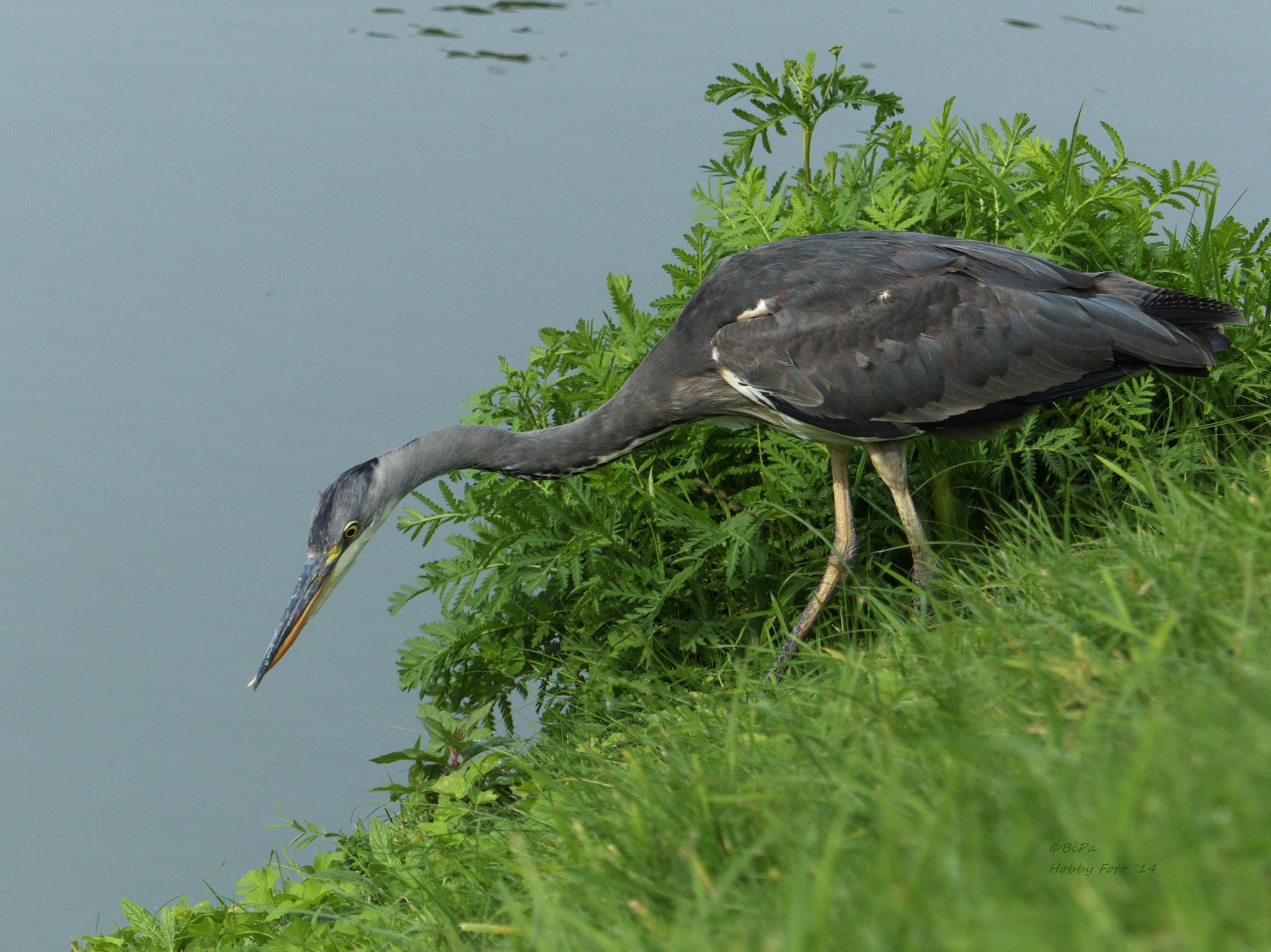 Observation of prey by Biri