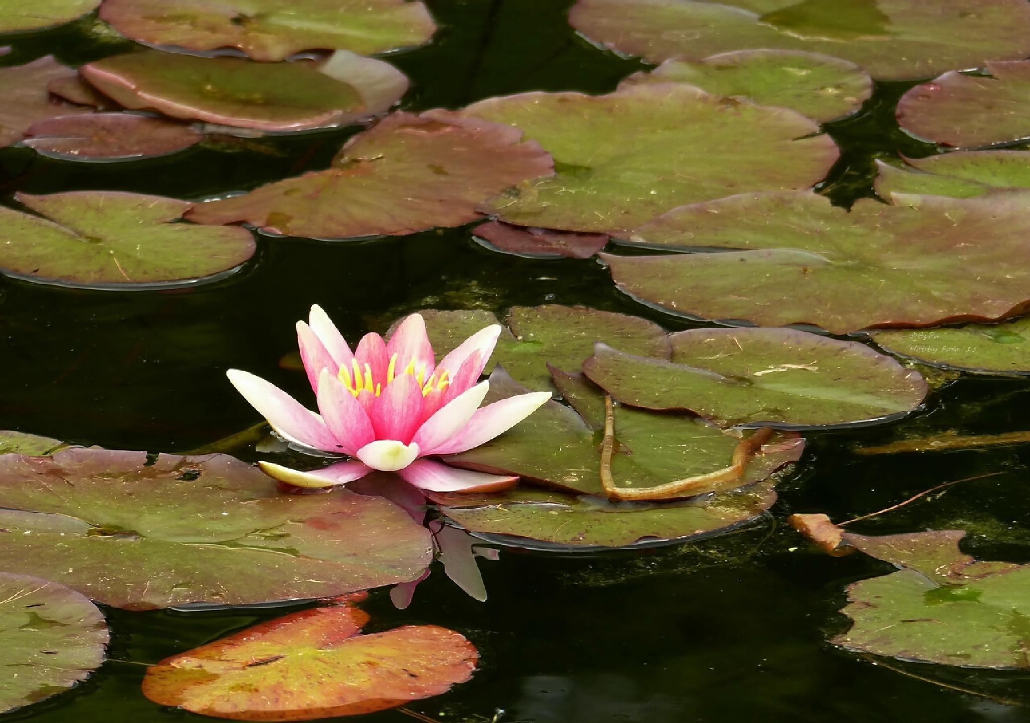 water lily... by Biri