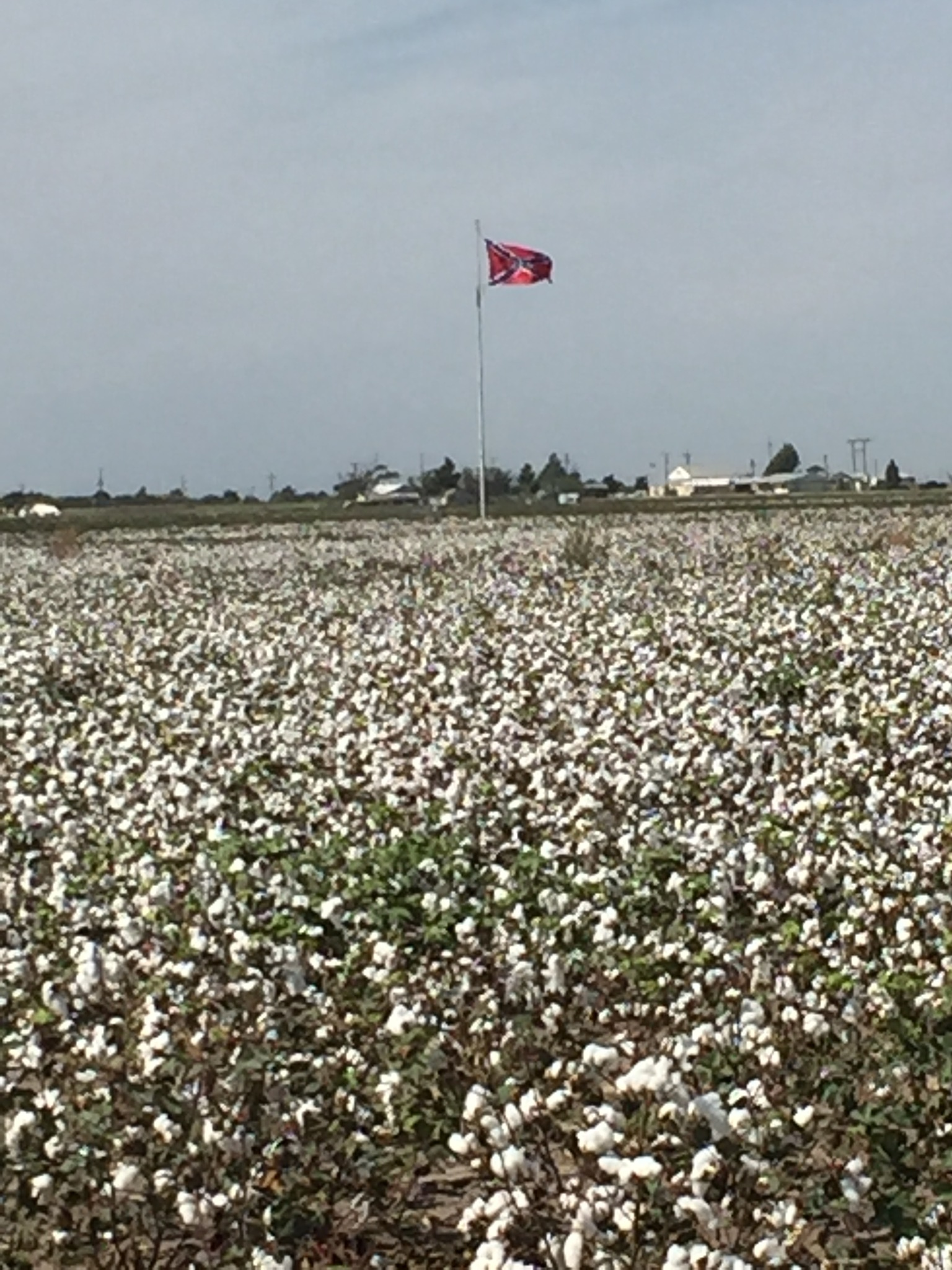 Confederate flag in a cotton field.  by john.fisher.7315