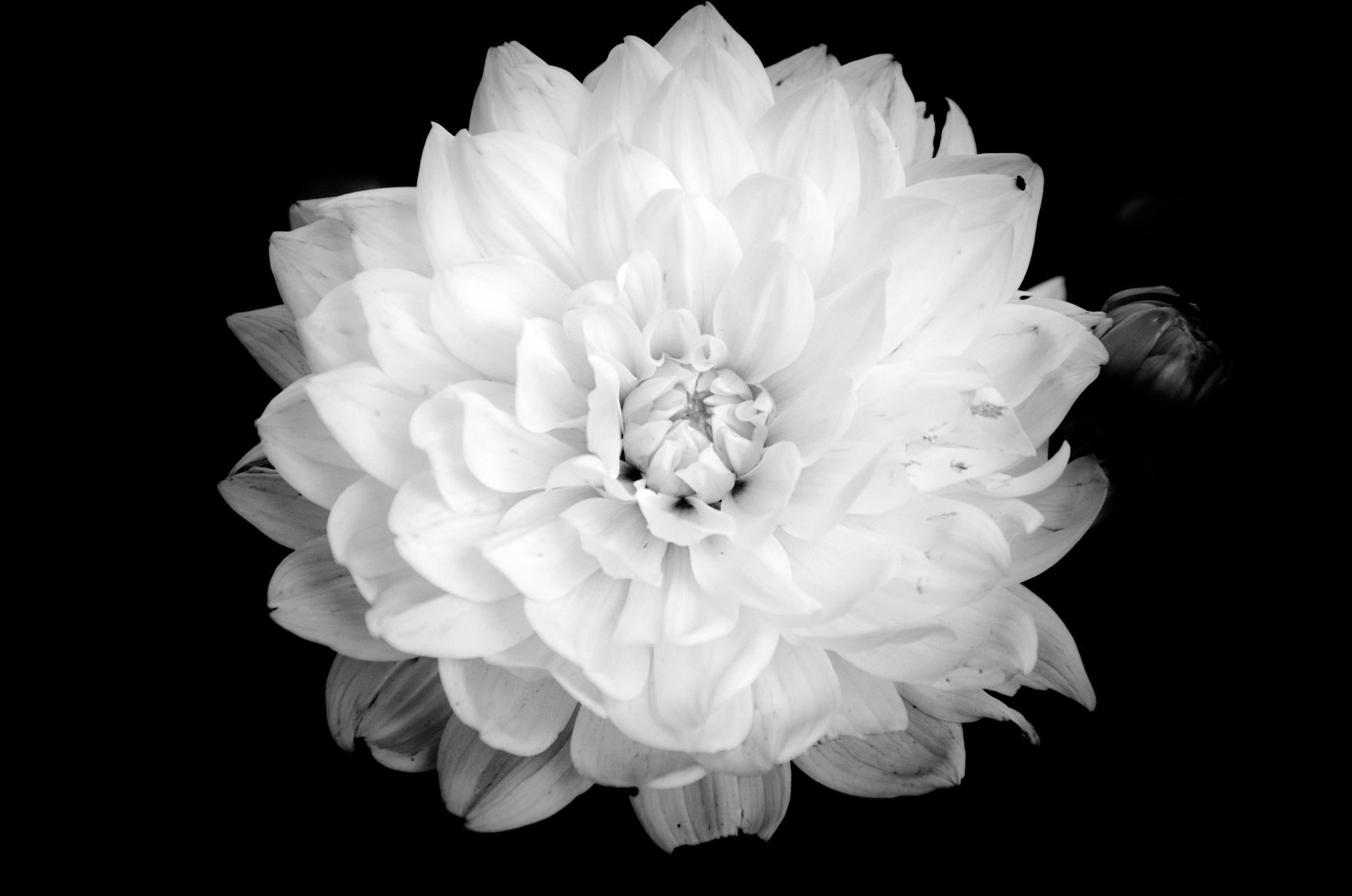 Power Flower No3 by Selman Adzomerovic