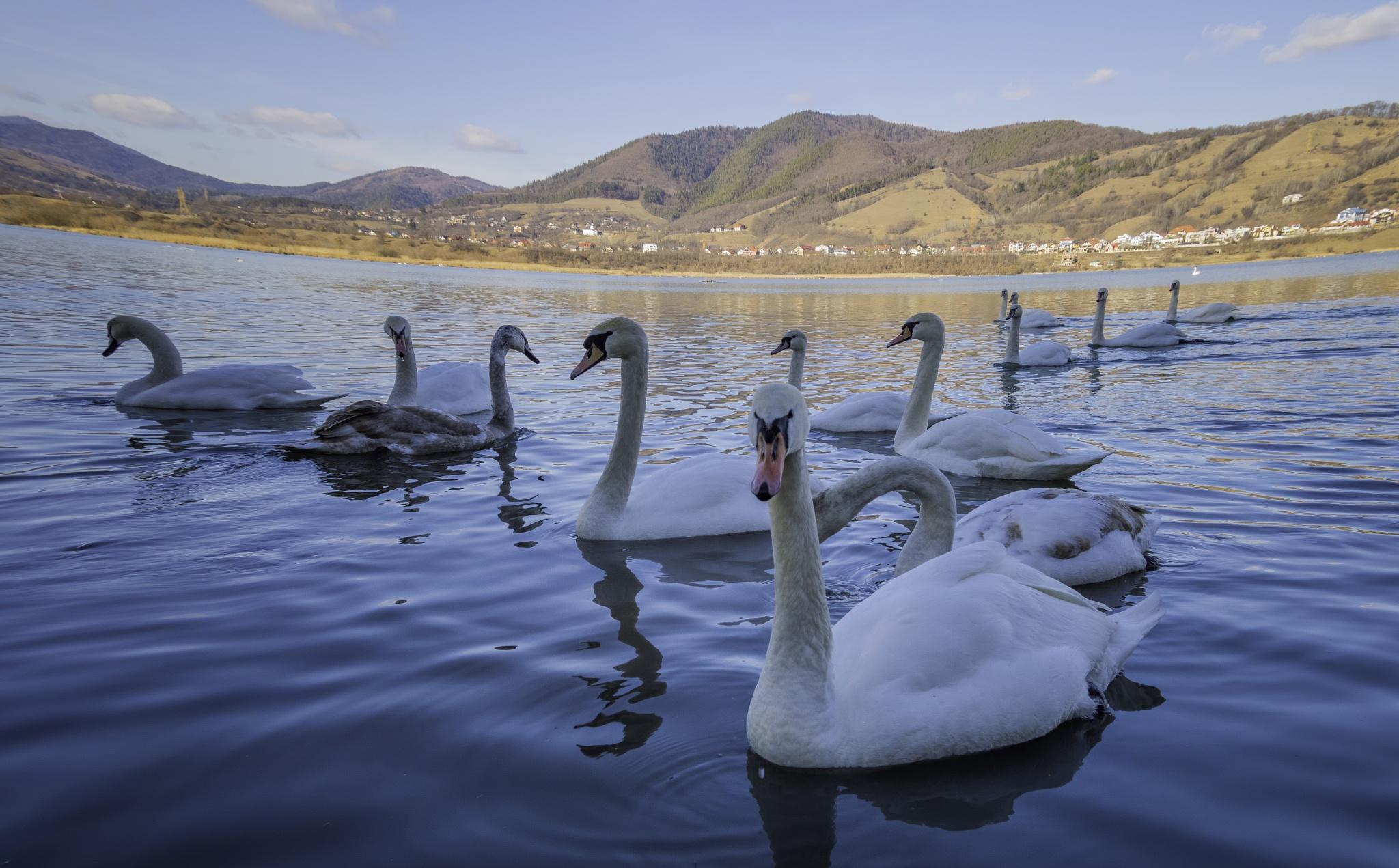 Swans on the Bistrita river, Romania by IonutAlexandru