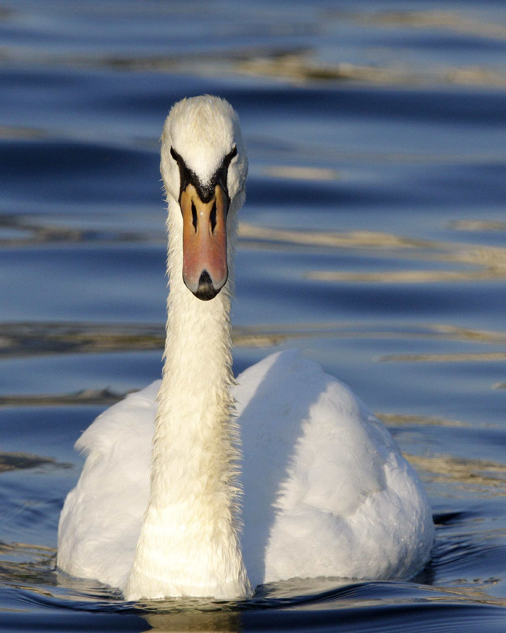 swan coming for you! by Brian Hammersley