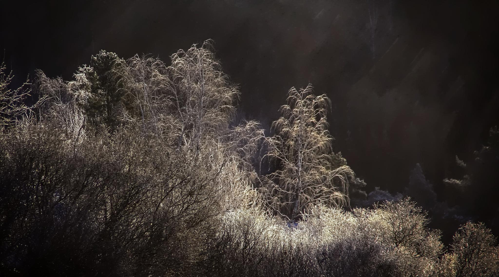 Frosty Trees ... by rockorbach