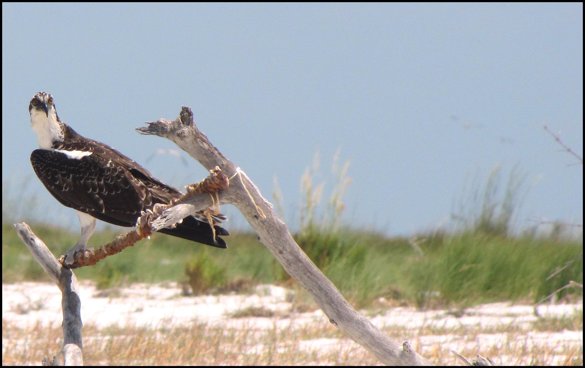 Resting Osprey by KathyHabets