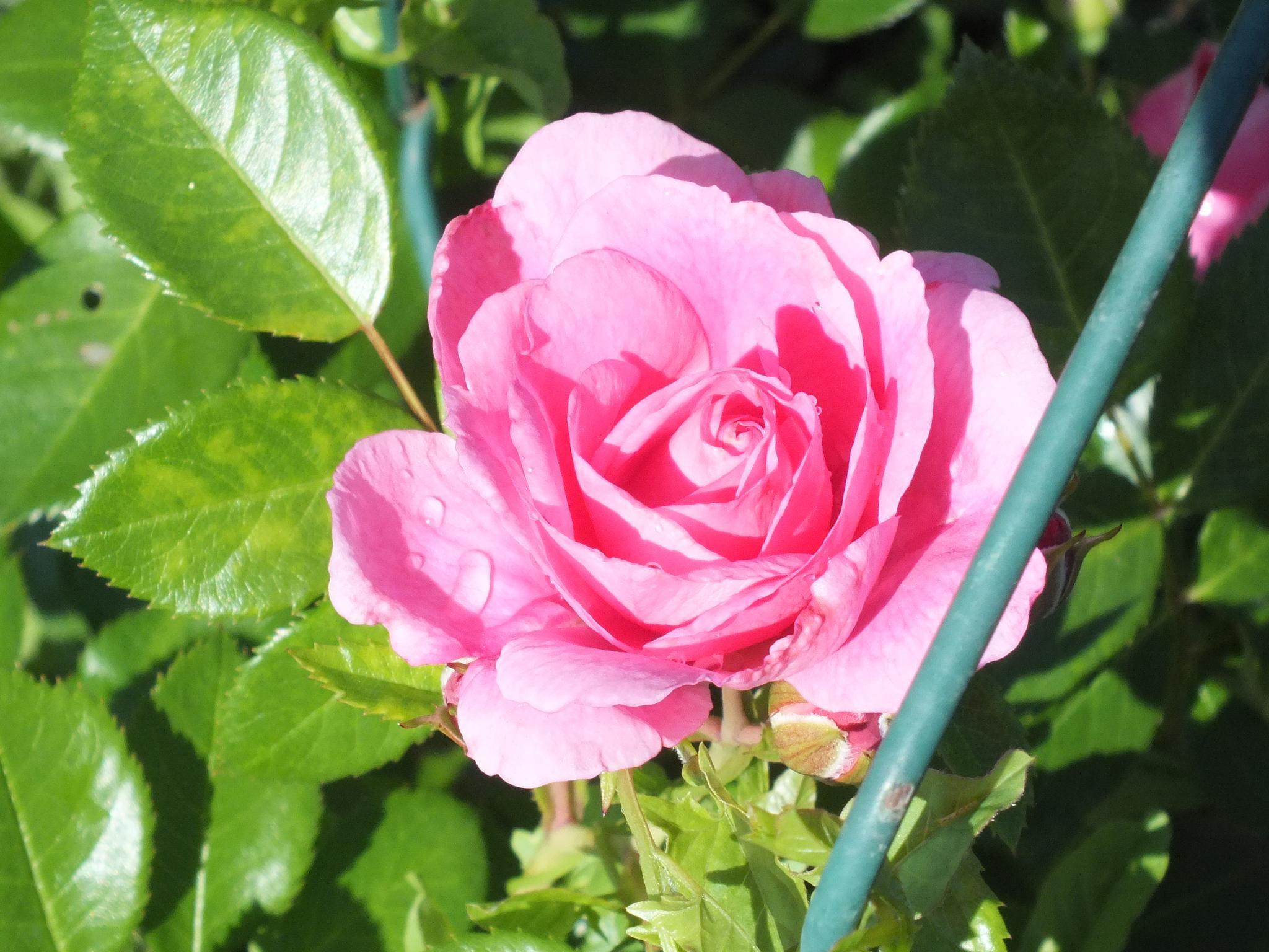 Morning rose by RegSoper
