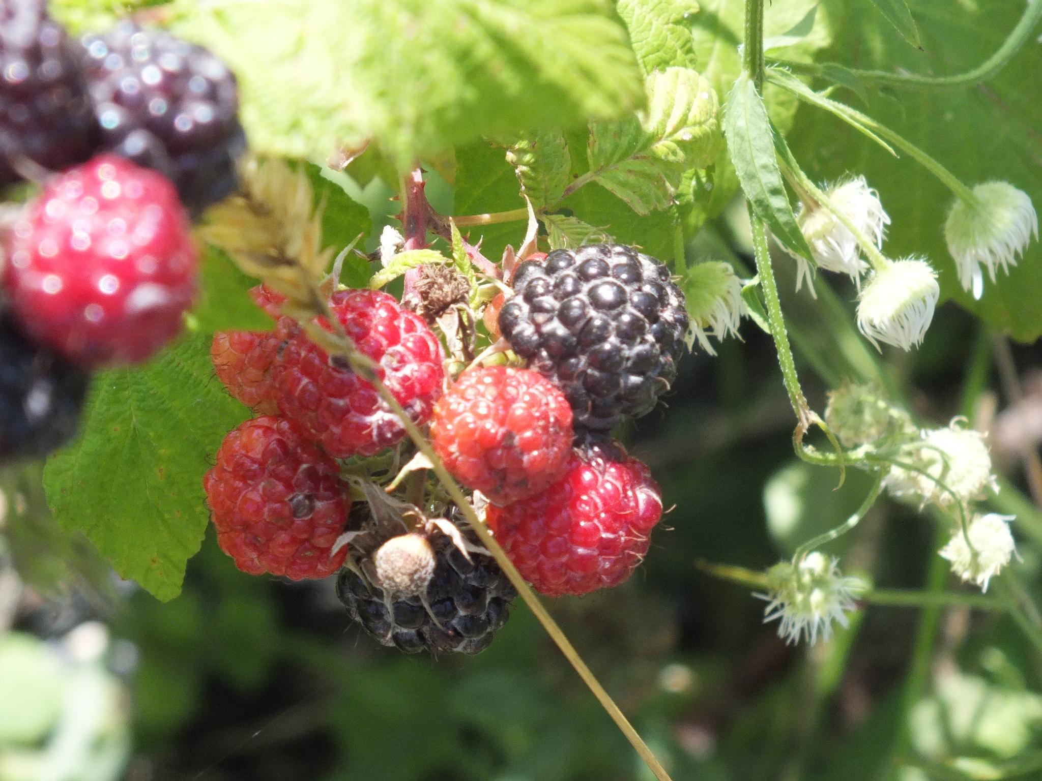 black raspberries under net by RegSoper
