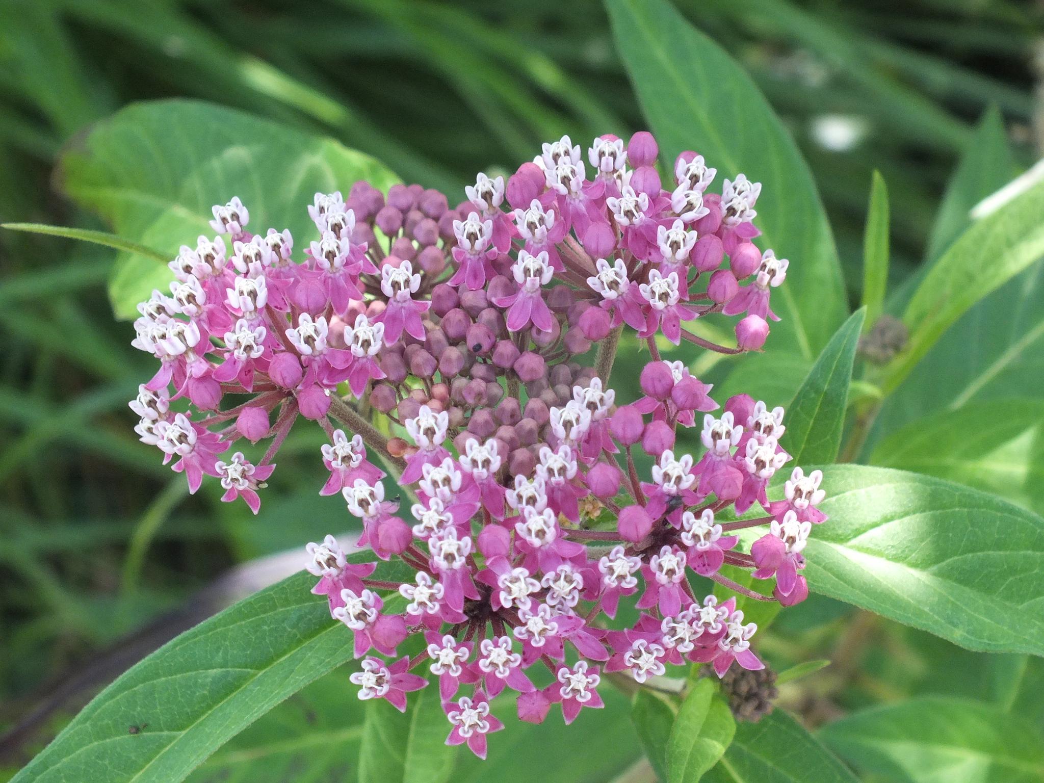 Milkweed in flower by RegSoper