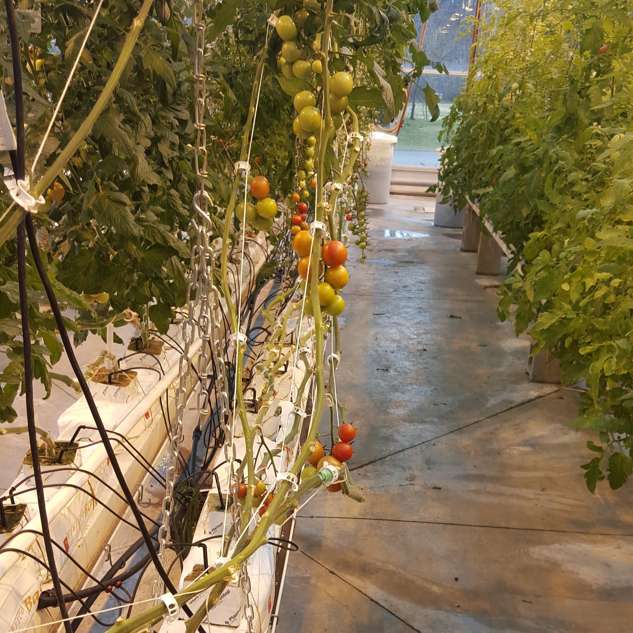 tomatoes by RegSoper