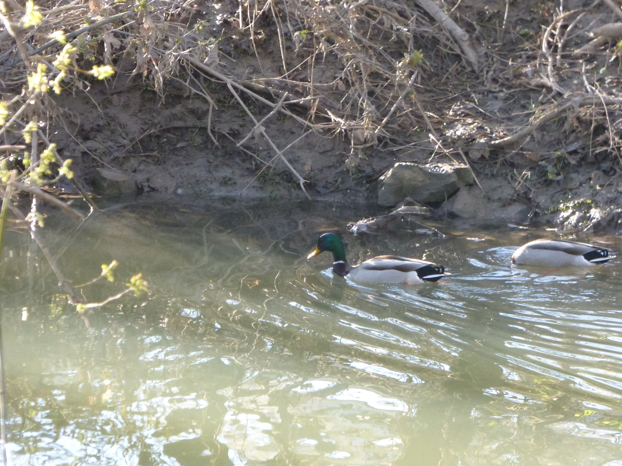 ah dunking duck by RegSoper