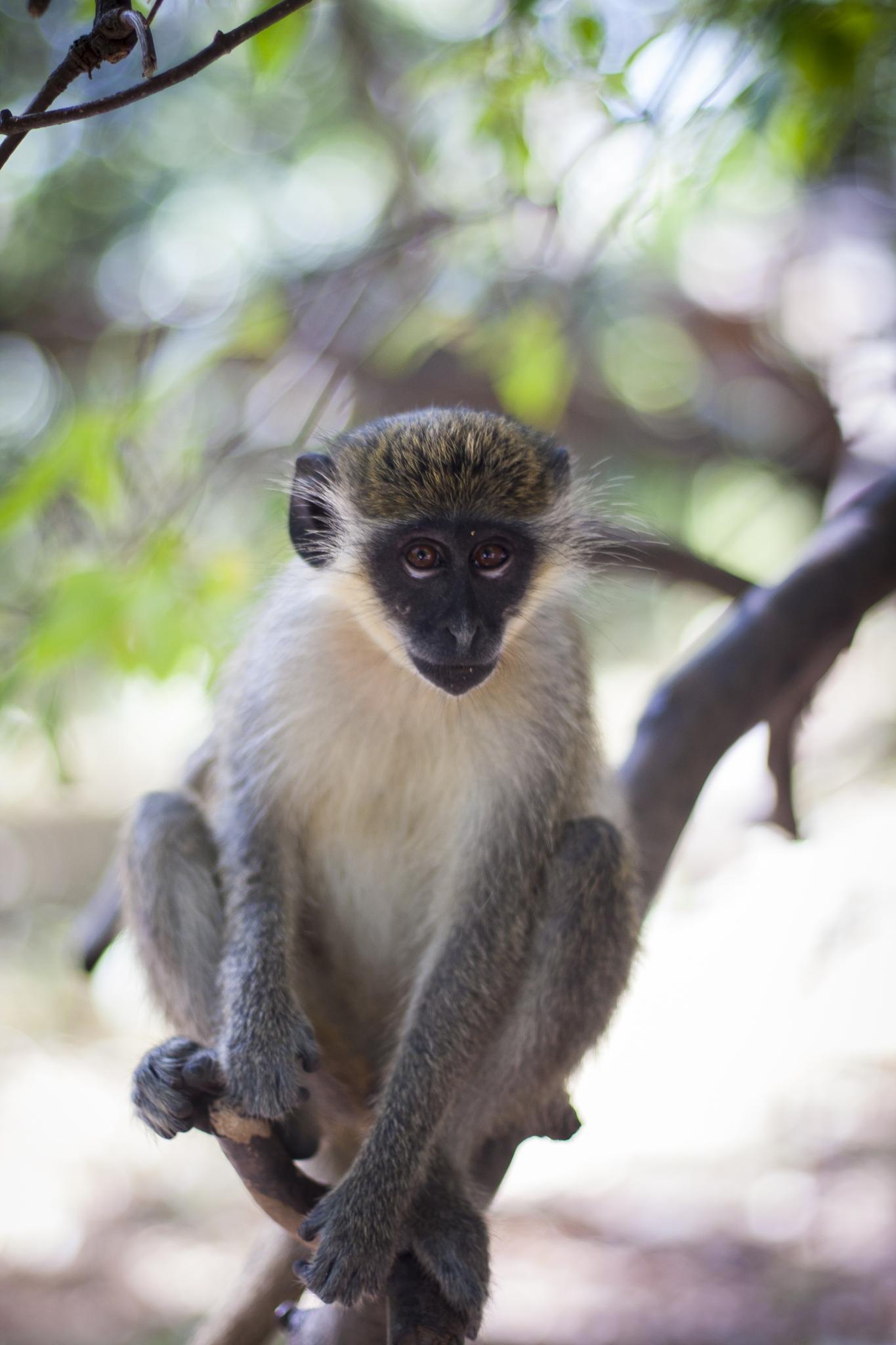 Green Monkey in Gambia by Rafal Krzysiak