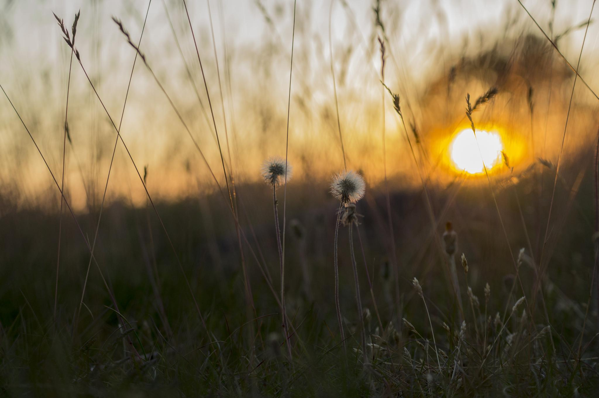 Photo in Nature #maskros #dandelion #sunset