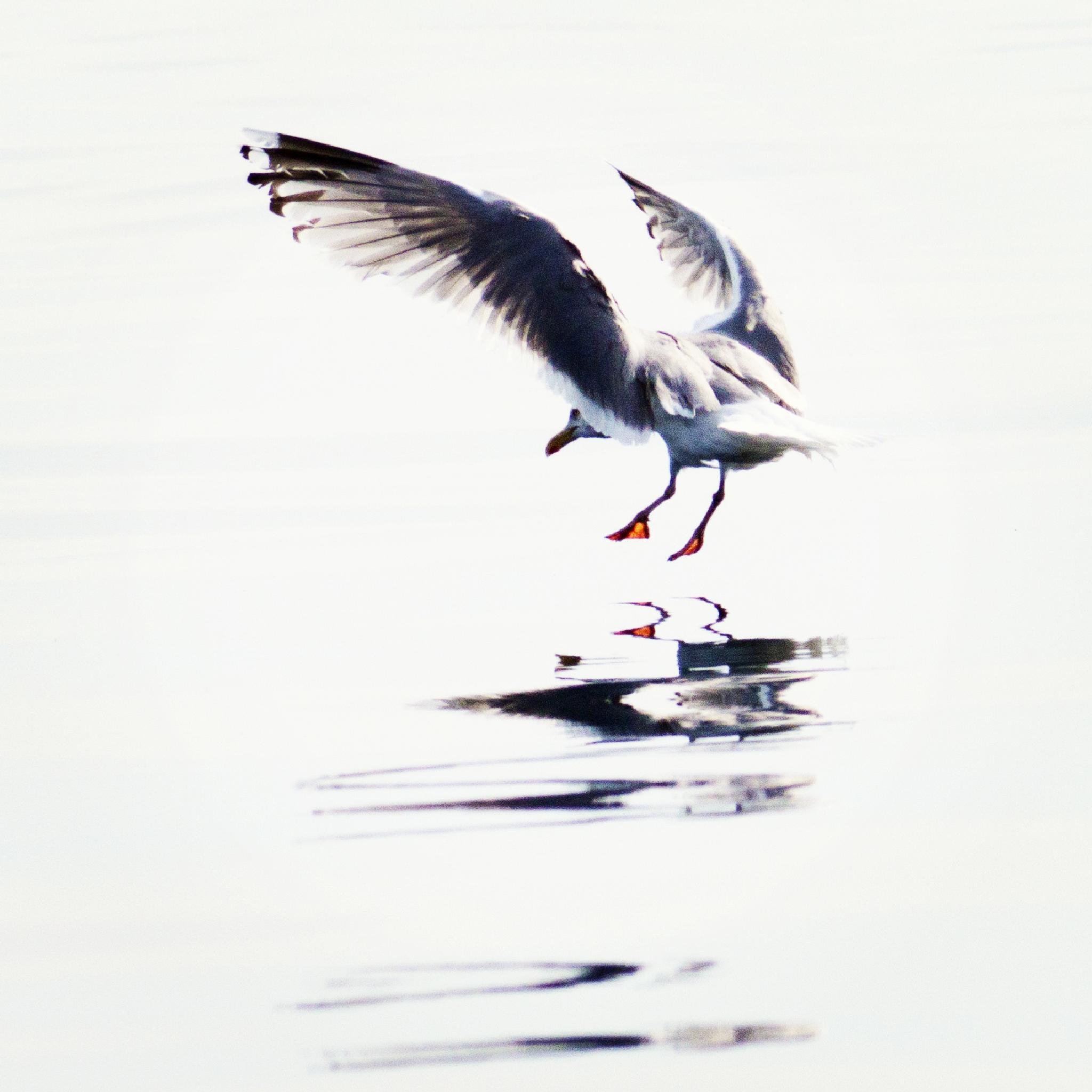 Landing seagull by Maria Johansson