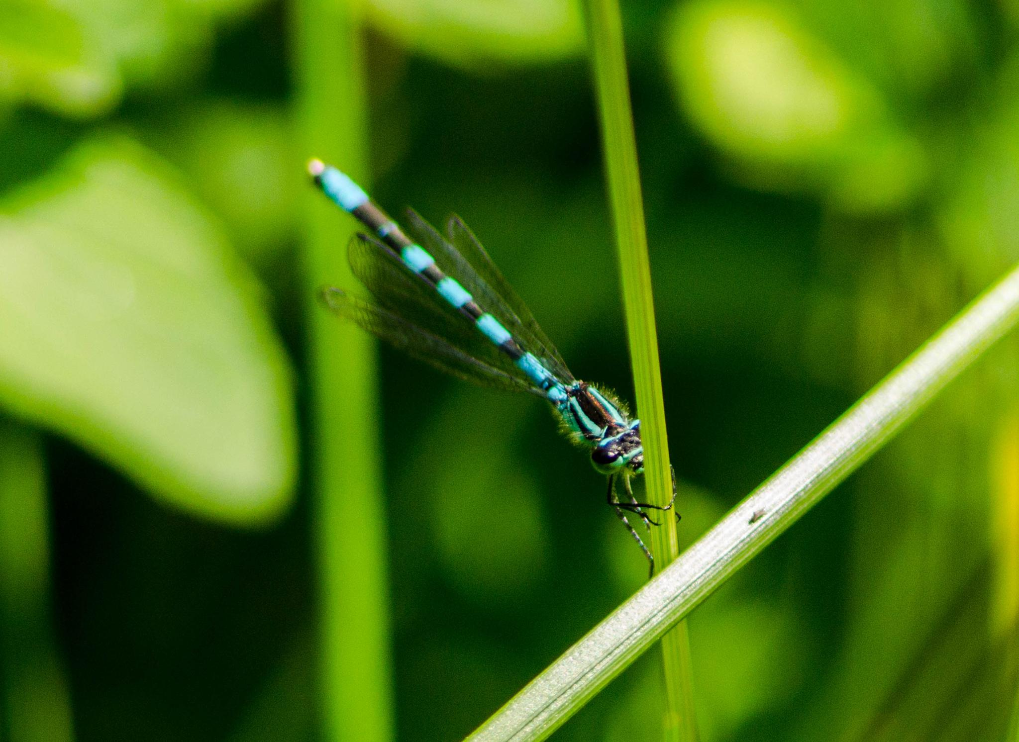 Dragonfly by Maria Johansson