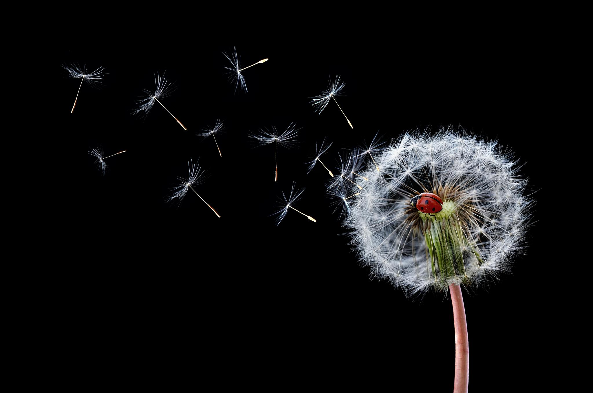 Dandelion Flying Ladybugs by Bess Hamiti
