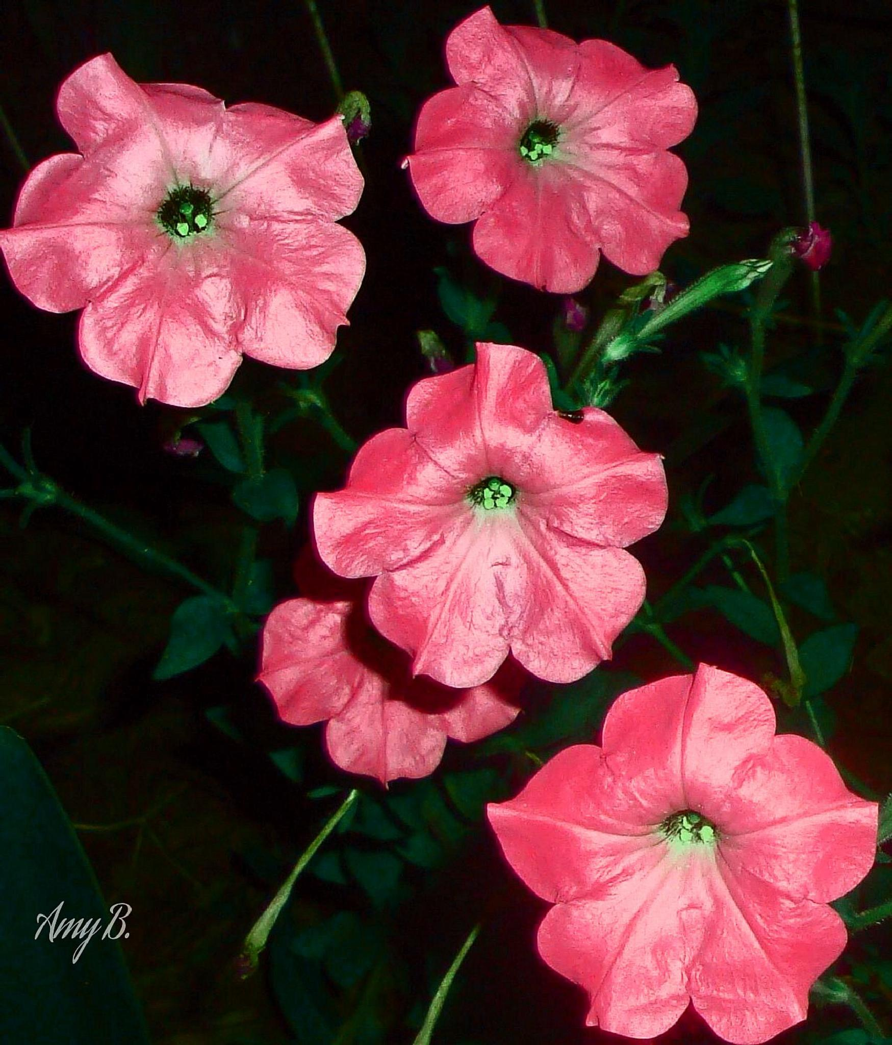 Pink petunias by amy.conger.9
