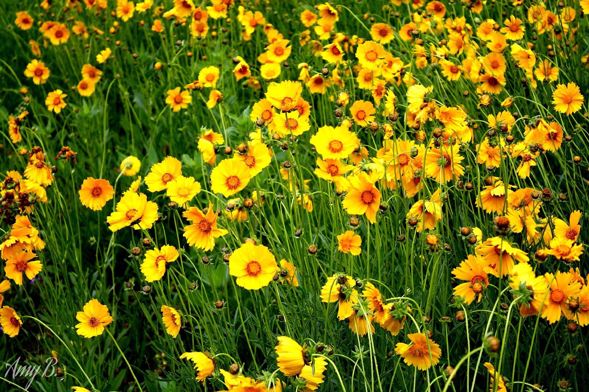 Fields of gold by amy.conger.9