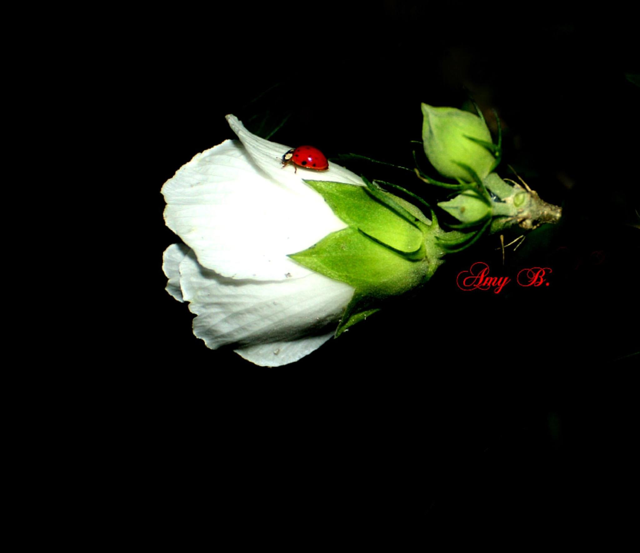 White flower at night with lady bug by amy.conger.9