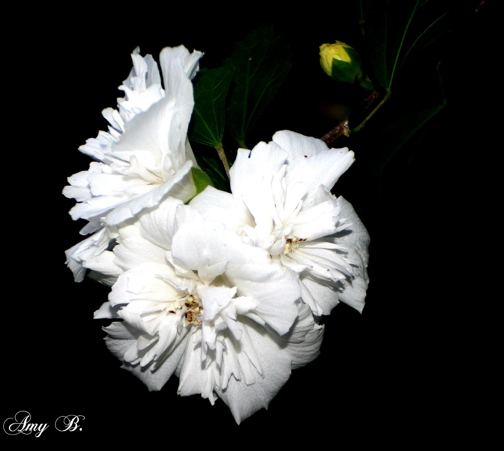 Three white flowers at night by amy.conger.9