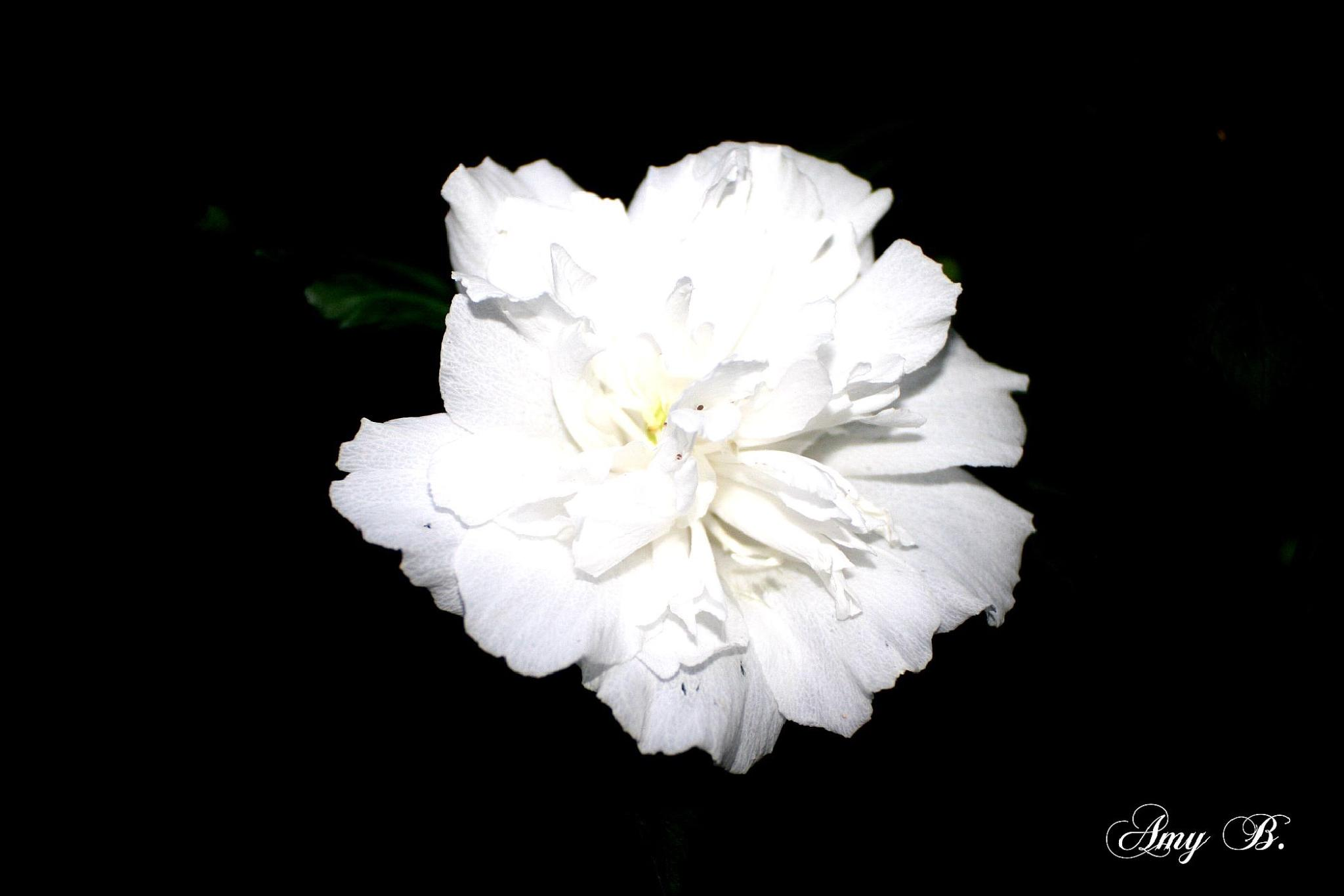 White flower at night by amy.conger.9