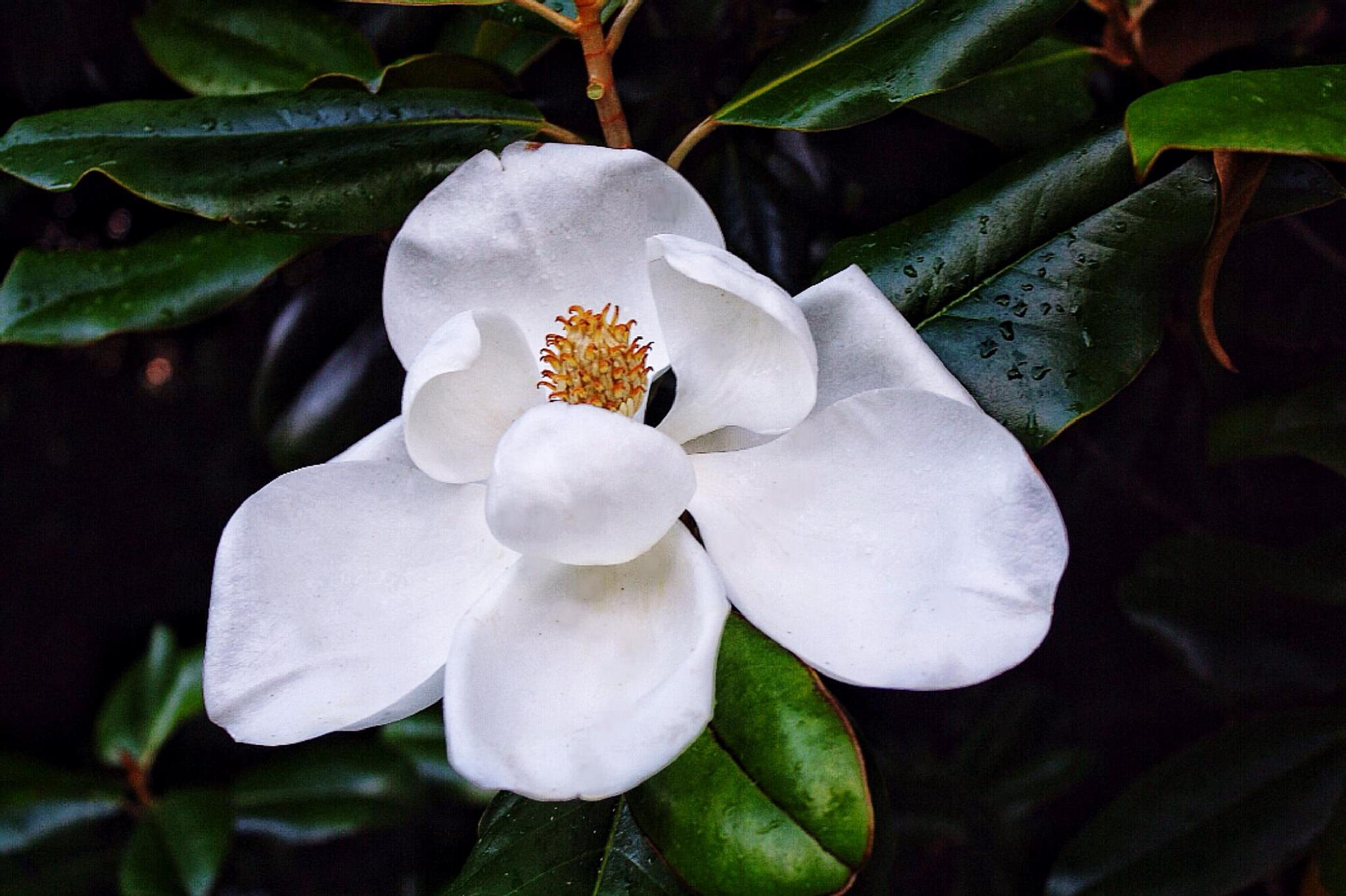 Beautiful white magnolia by amy.conger.9