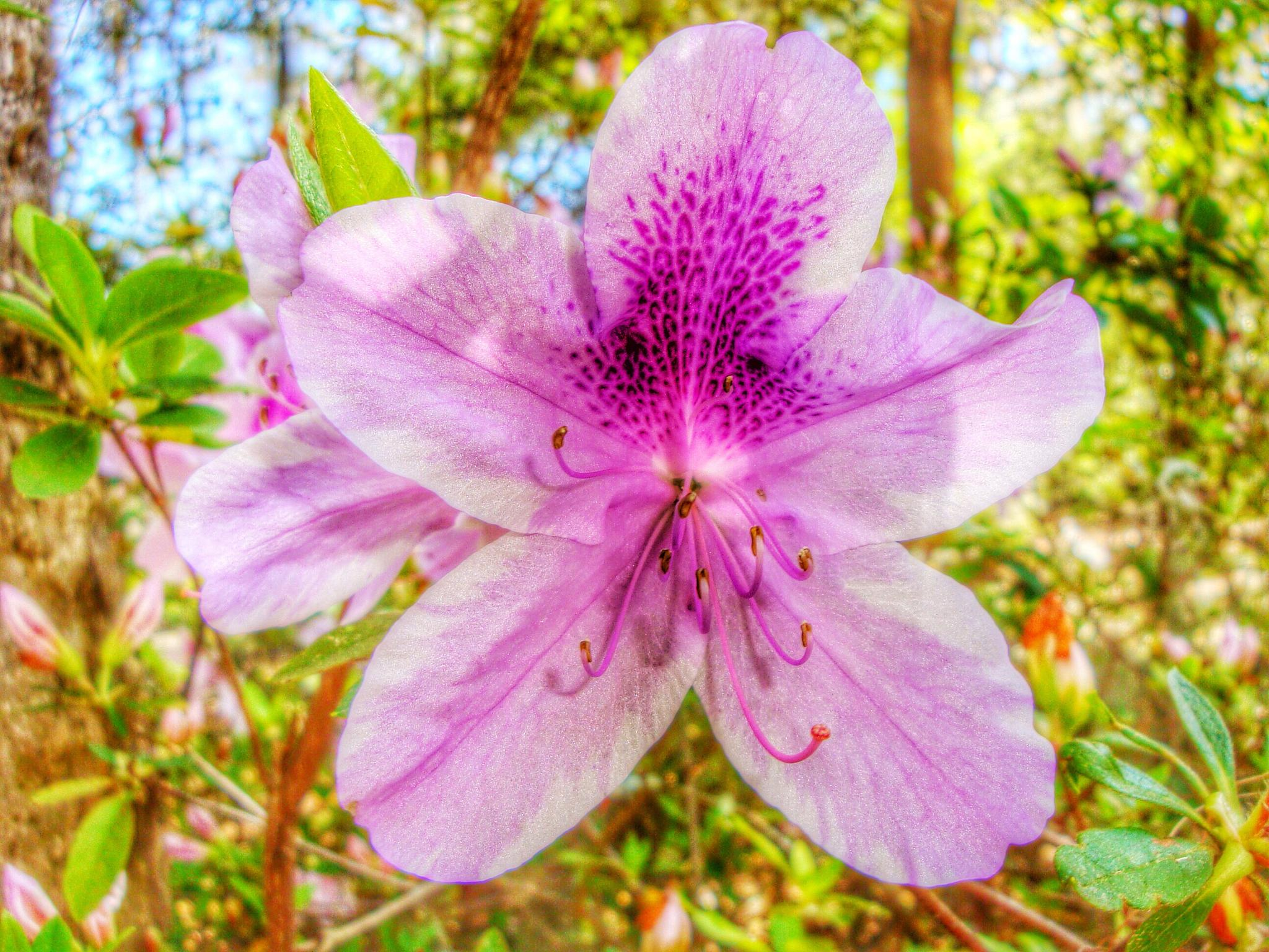 Macro shot of lavender azalea with HDR filter by amy.conger.9