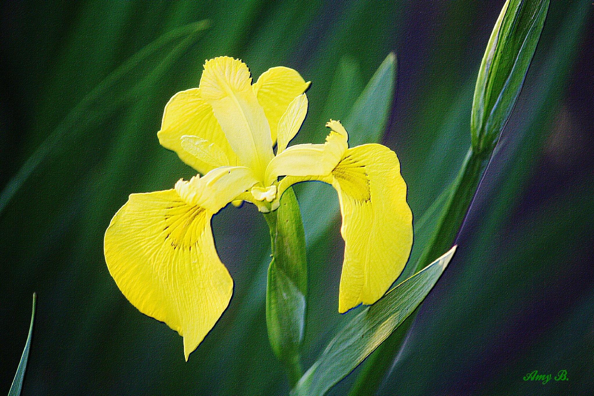 Yellow Iris embossed by amy.conger.9