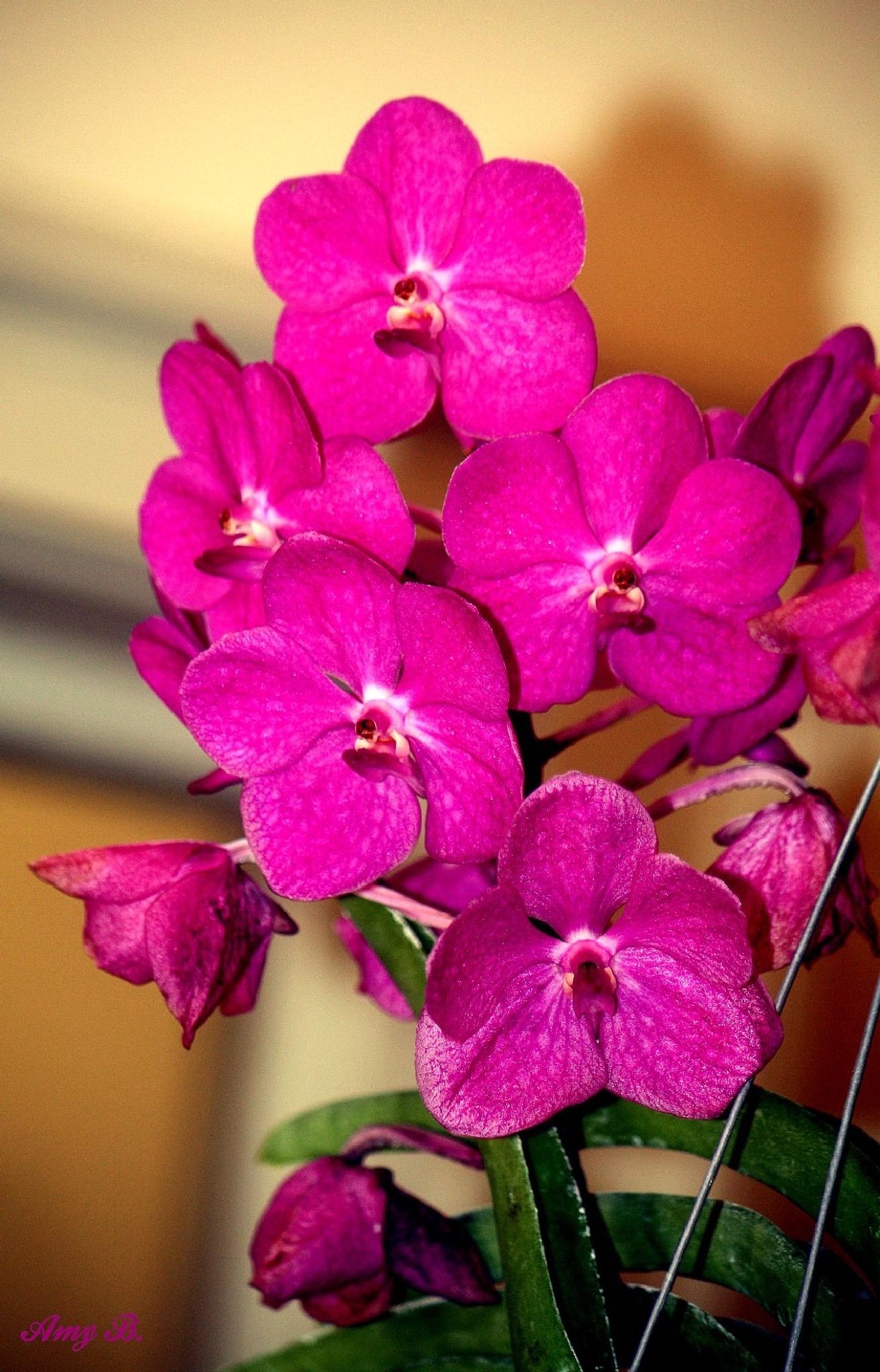 Deep mauve orchids by amy.conger.9