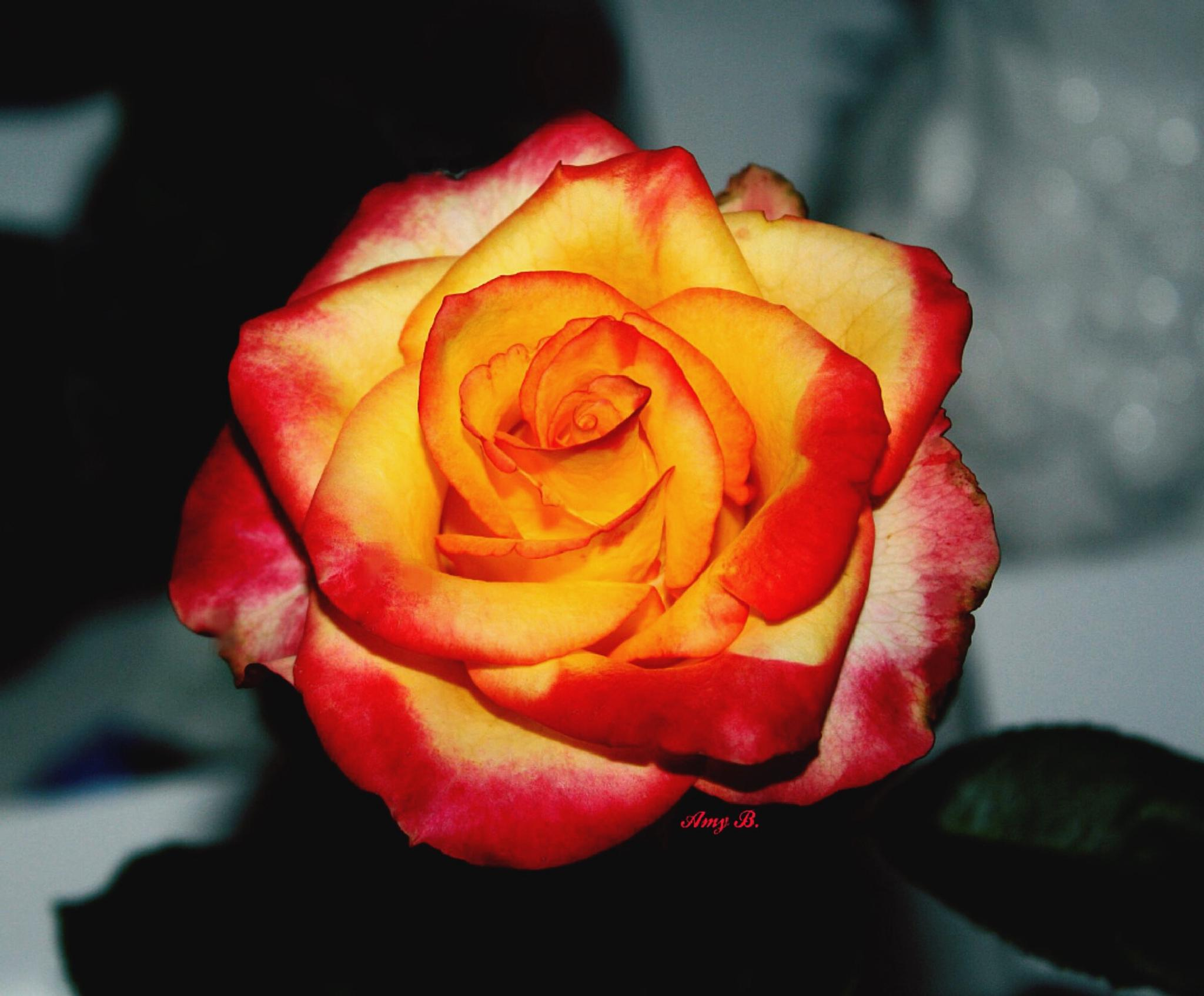 Flaming rose by amy.conger.9